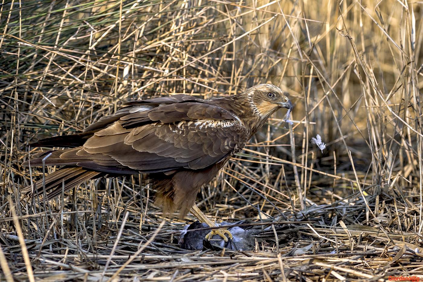 The snack Marsh Harrier...