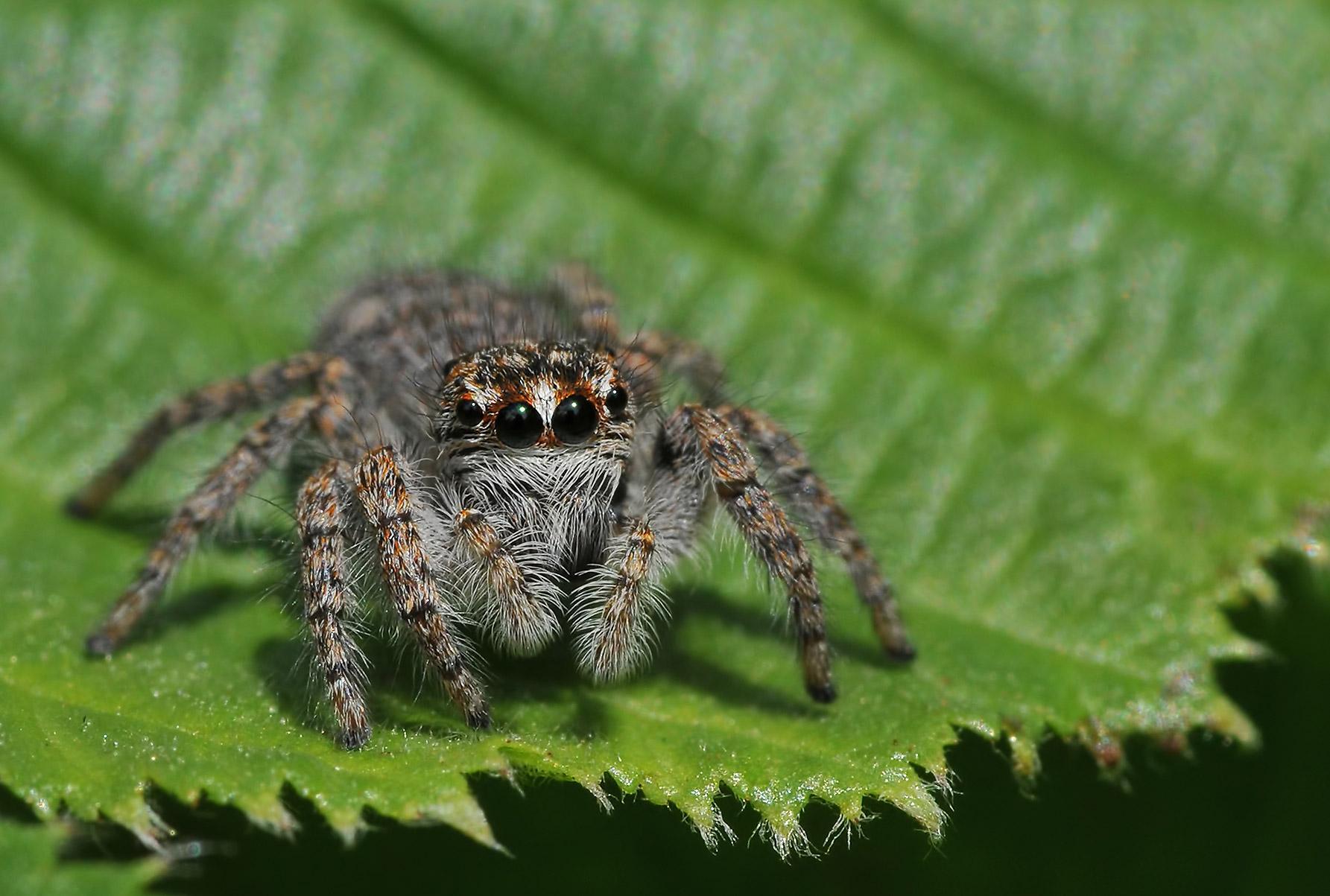 salticide Spider...