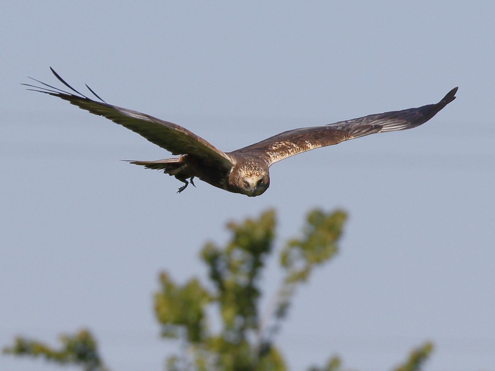 Marsh Harrier with prey...