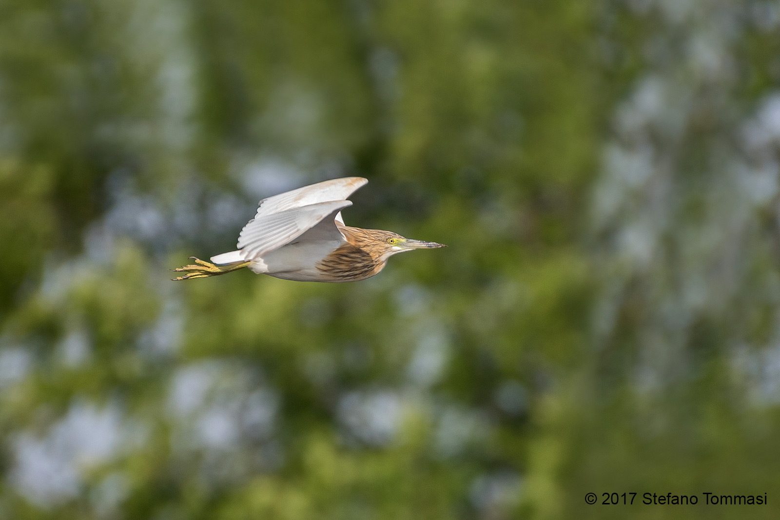 Sgarza tuft in flight...