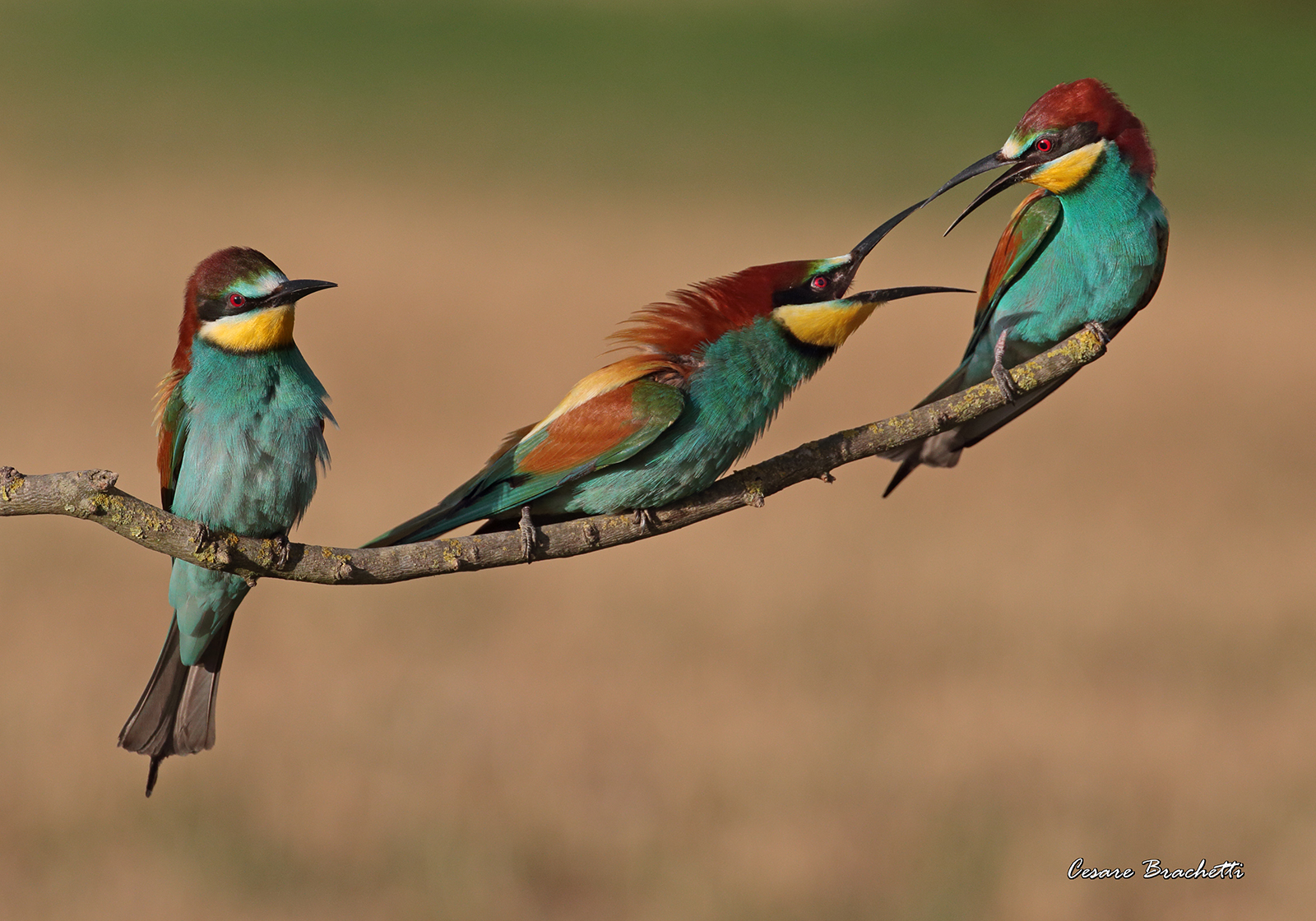 Early morning lights. bee-eaters....