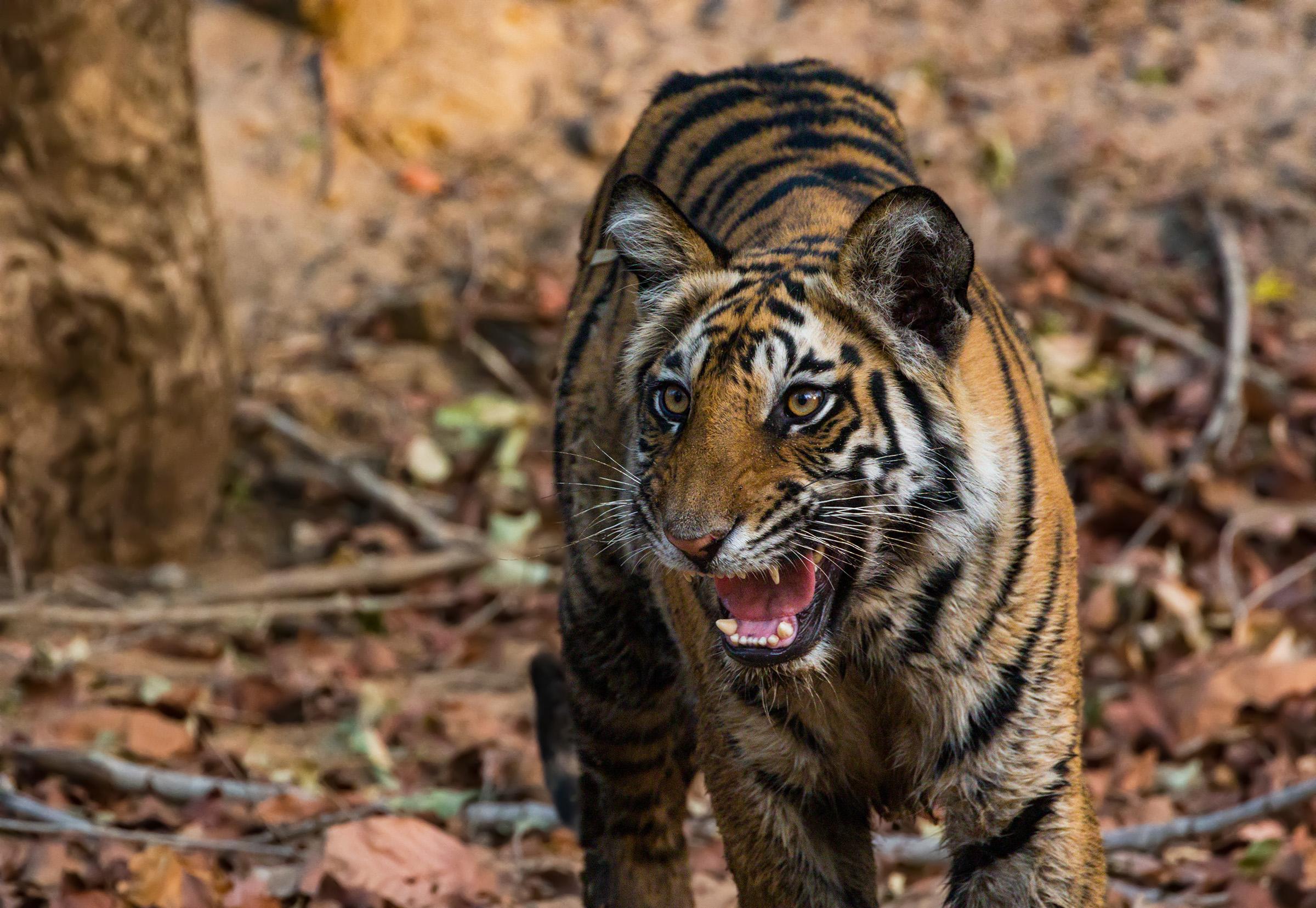 Angry tiger...