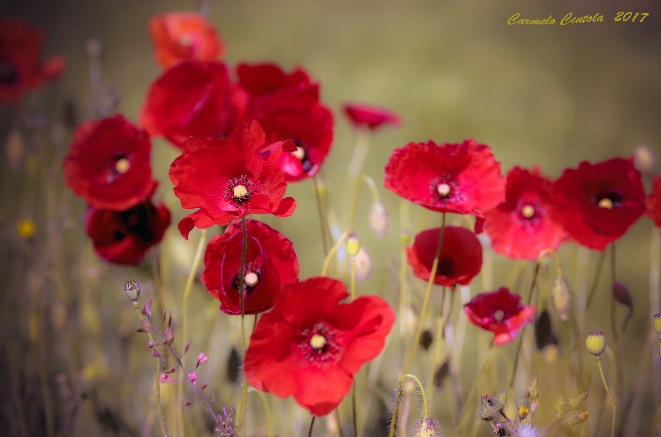 Poppies in the wind...
