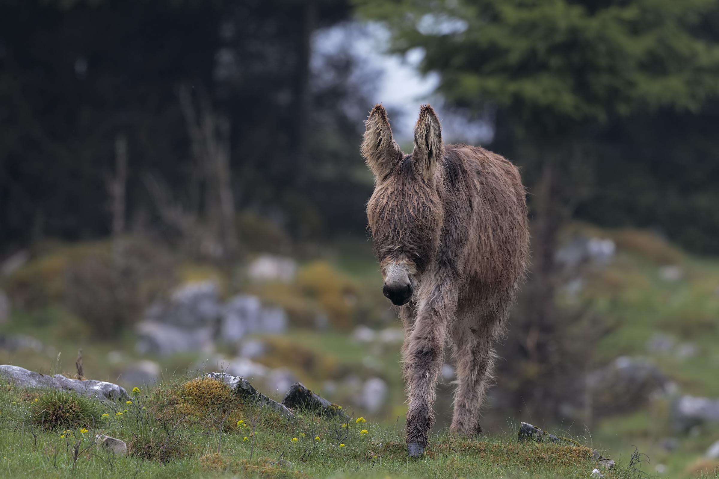 burro...