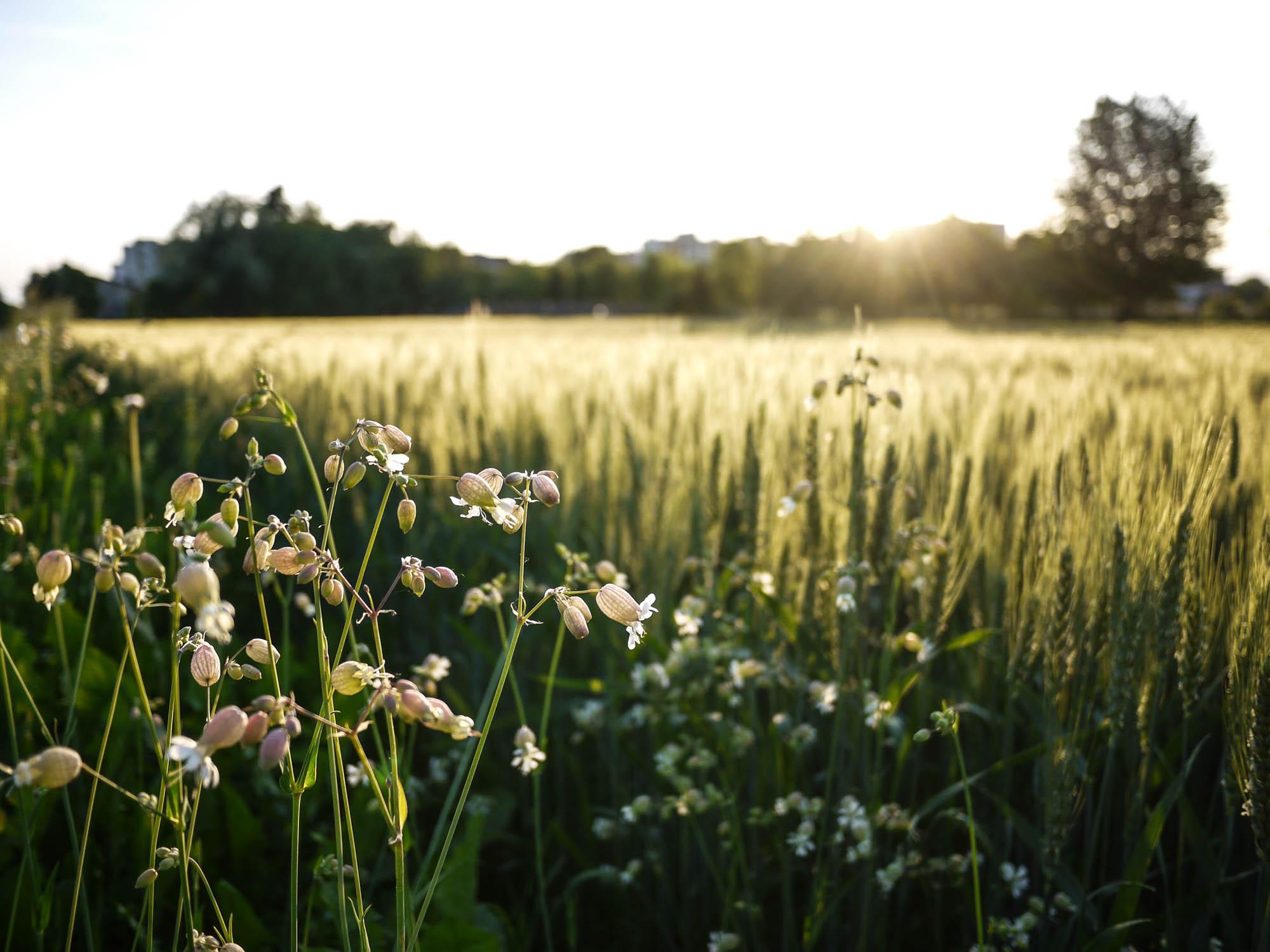 Wheat field...