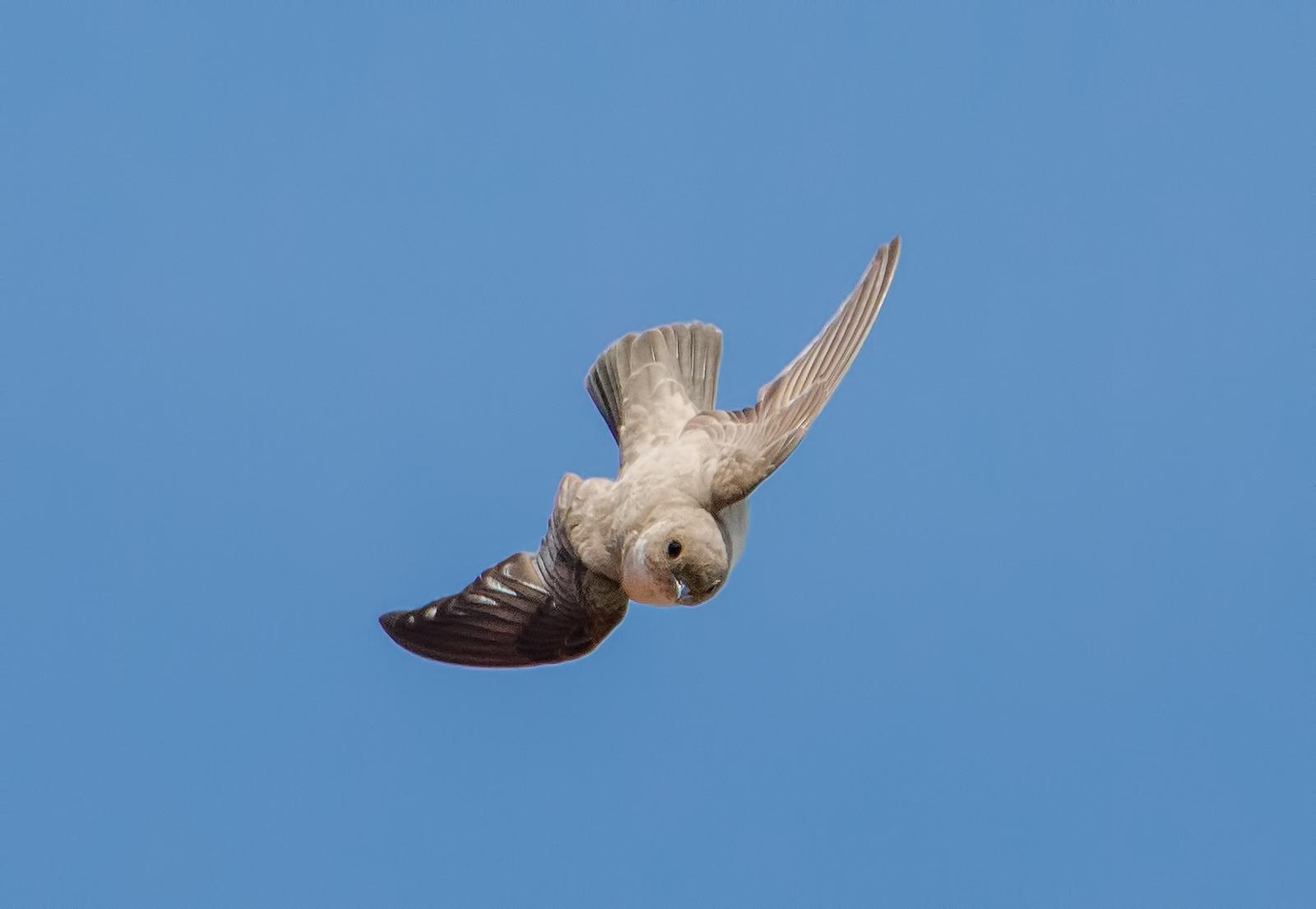 Mountain Swallow...
