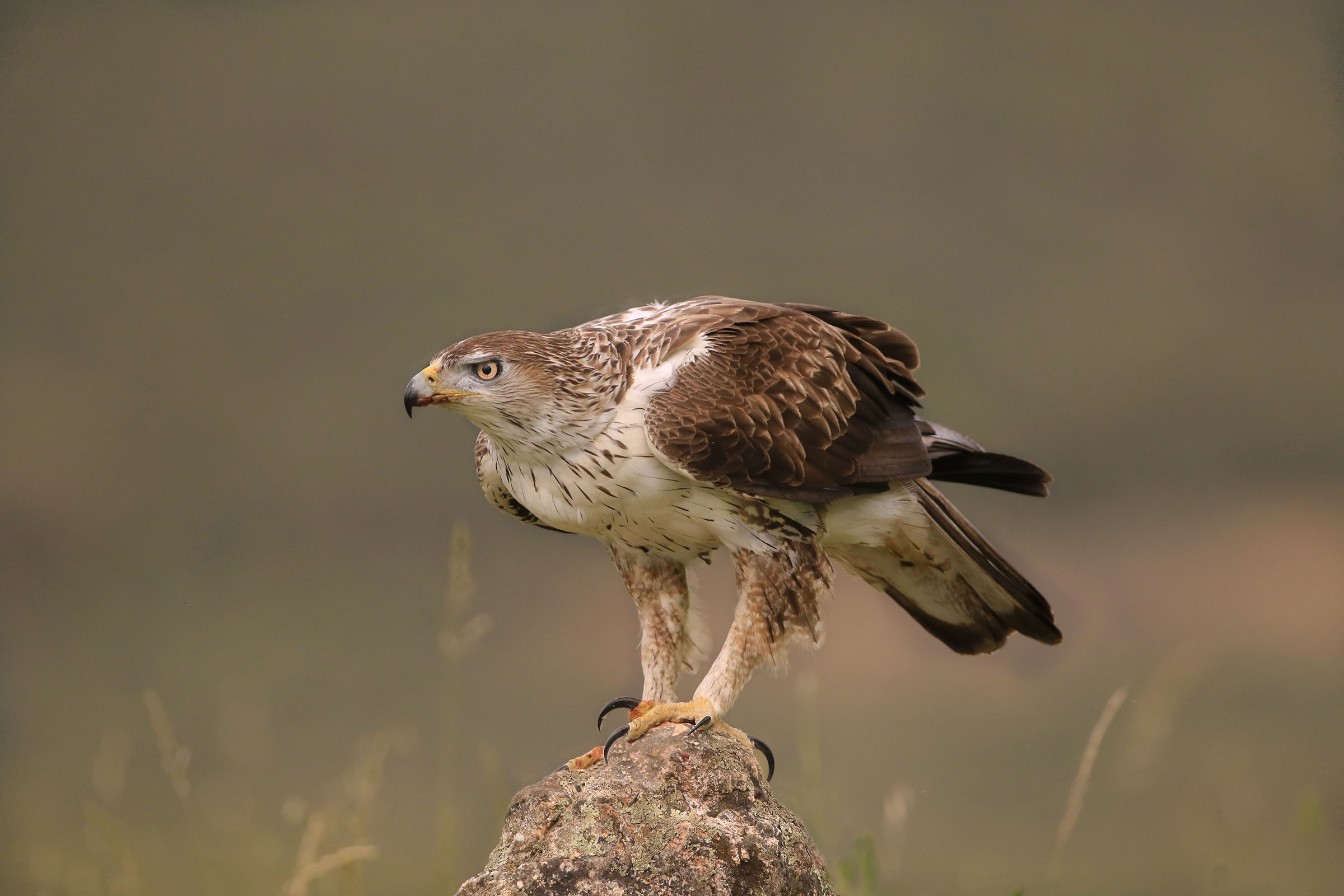 Eagle of the Bonelli new atmospheres...
