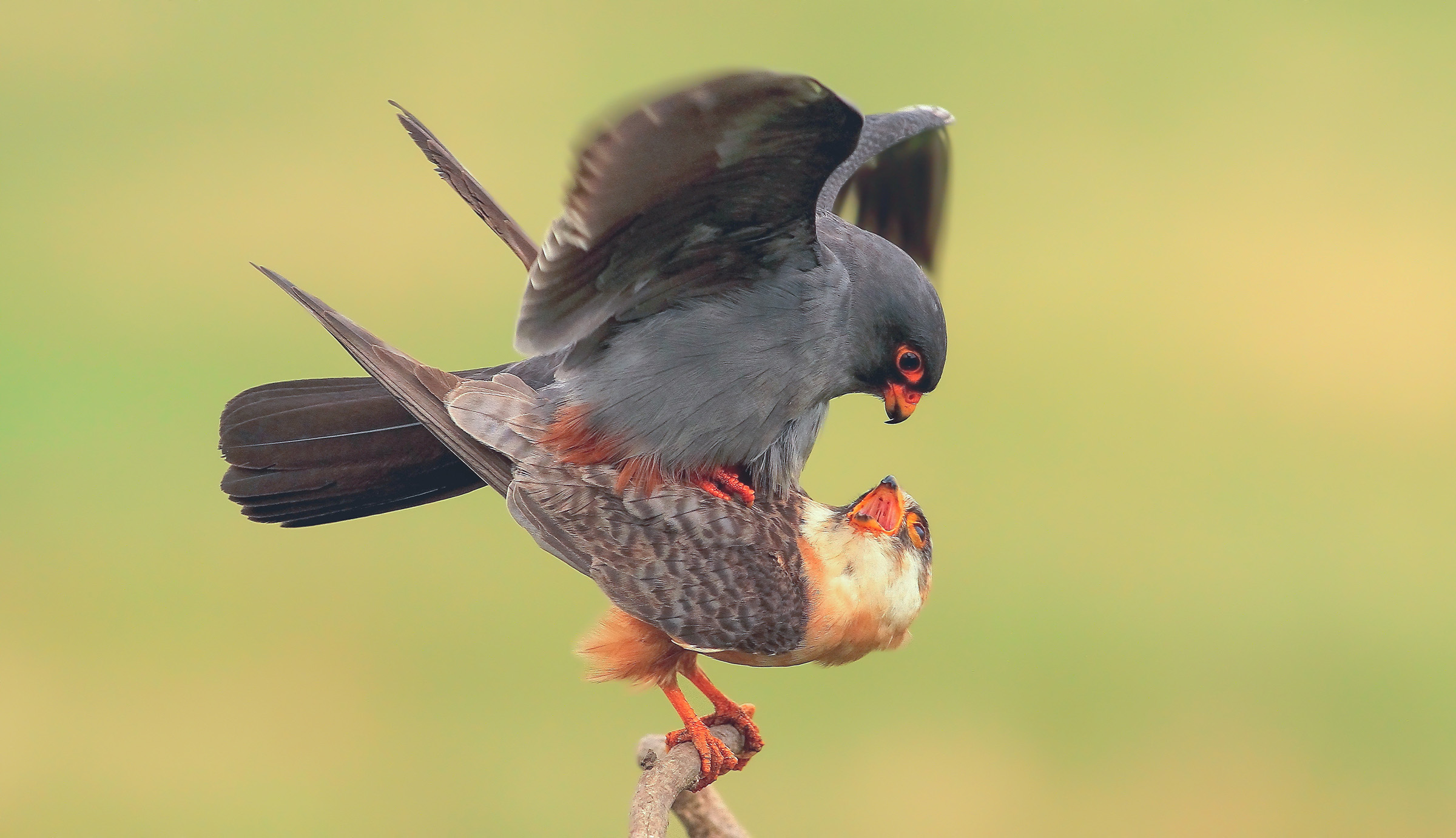 Cuckoo mating paw...