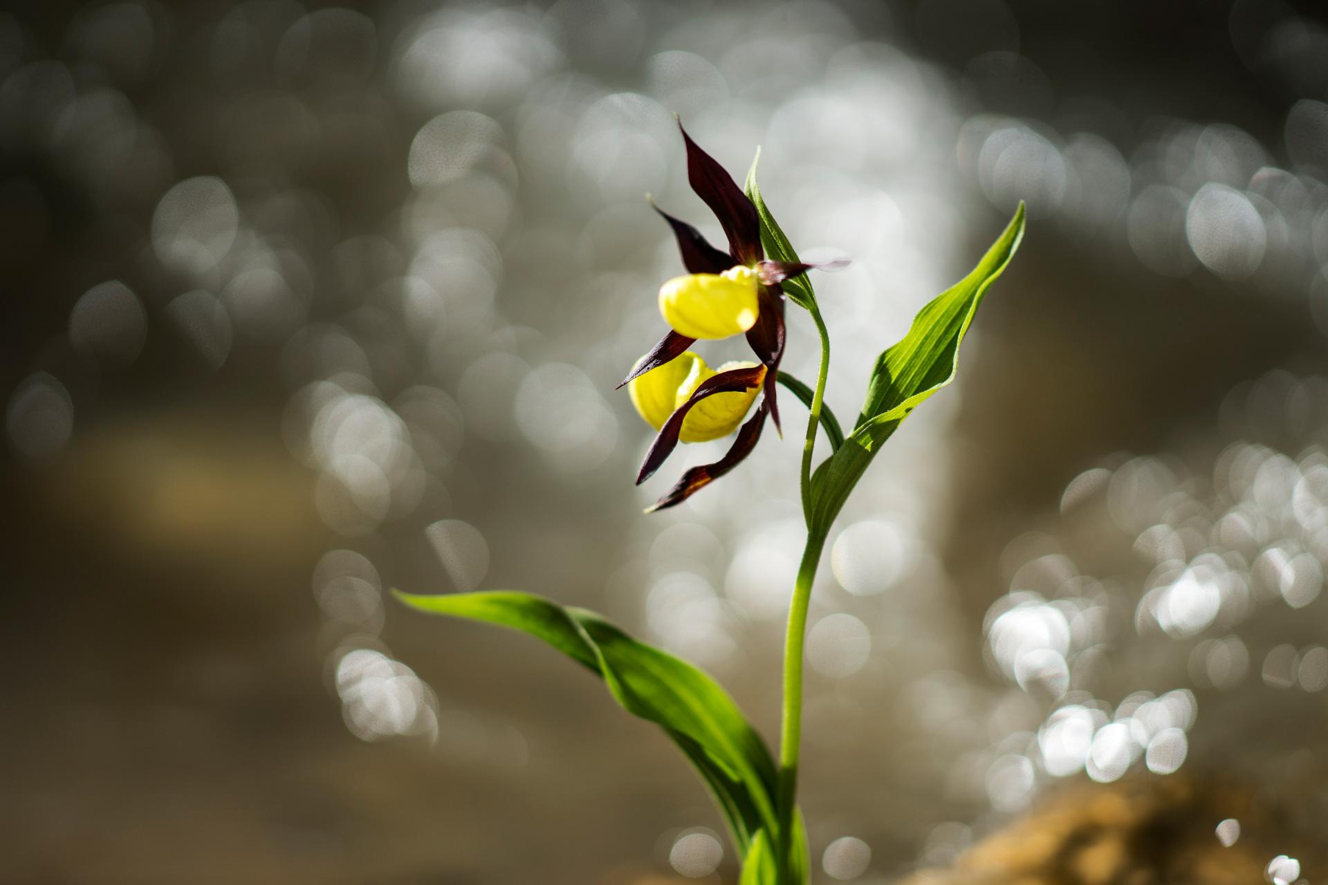 Orchid (Madonna's Shoe)...