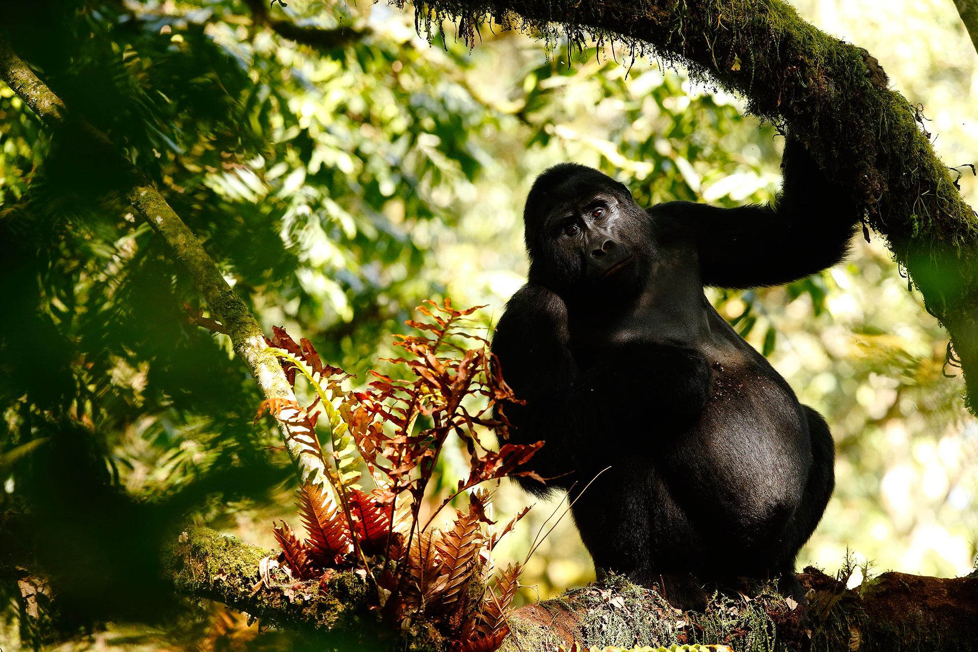 Gorilla is pregnant...