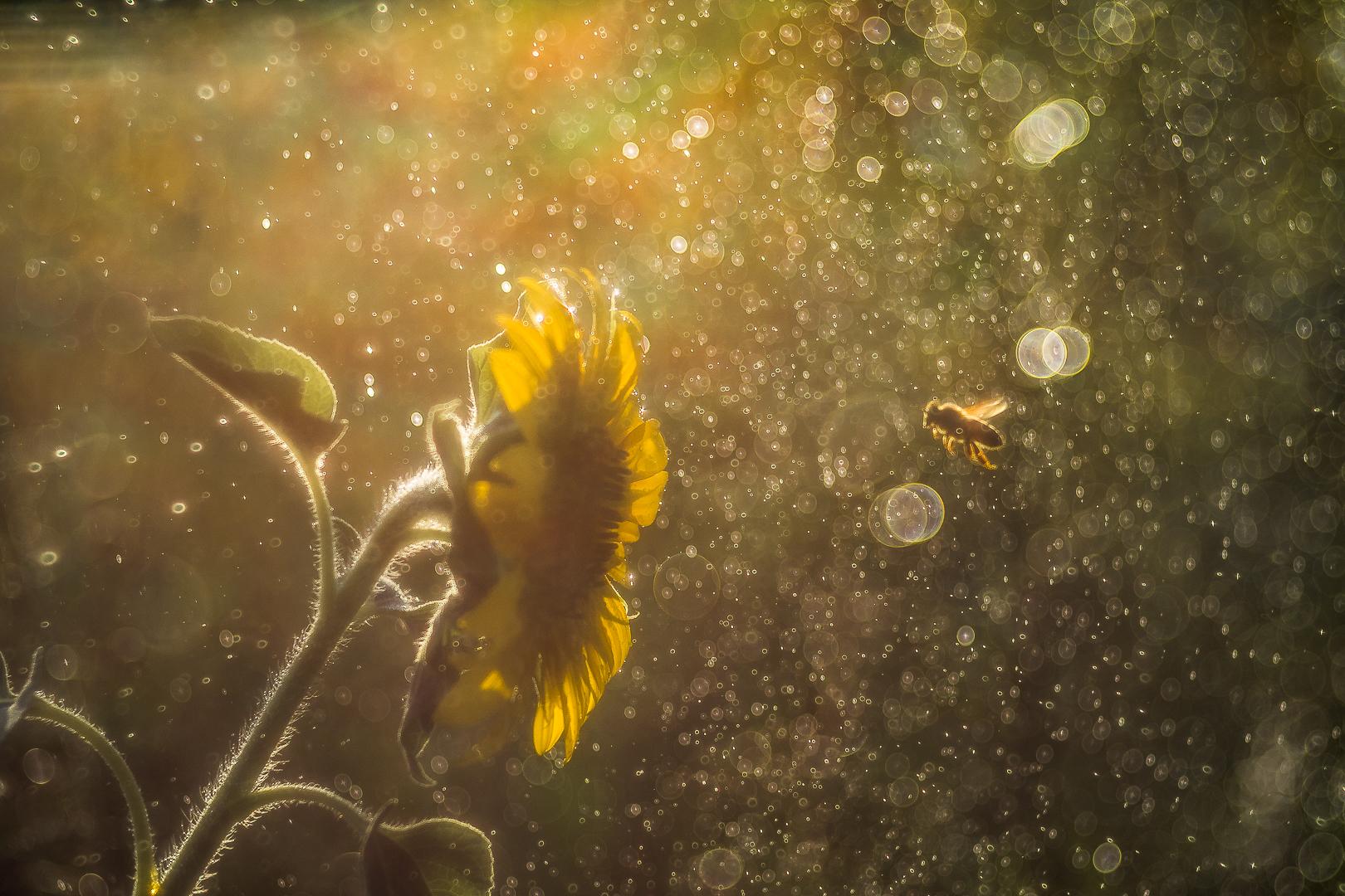 L'ape sognante...