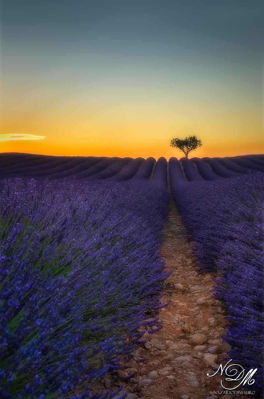 The lavender magic ......