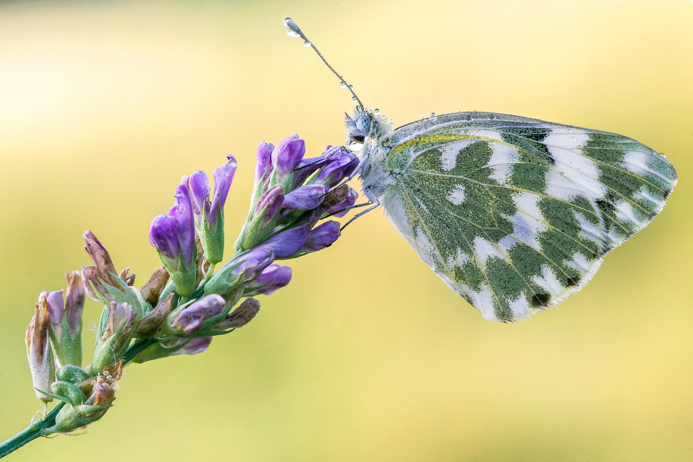 Бабочки растение макро  № 3660360 бесплатно