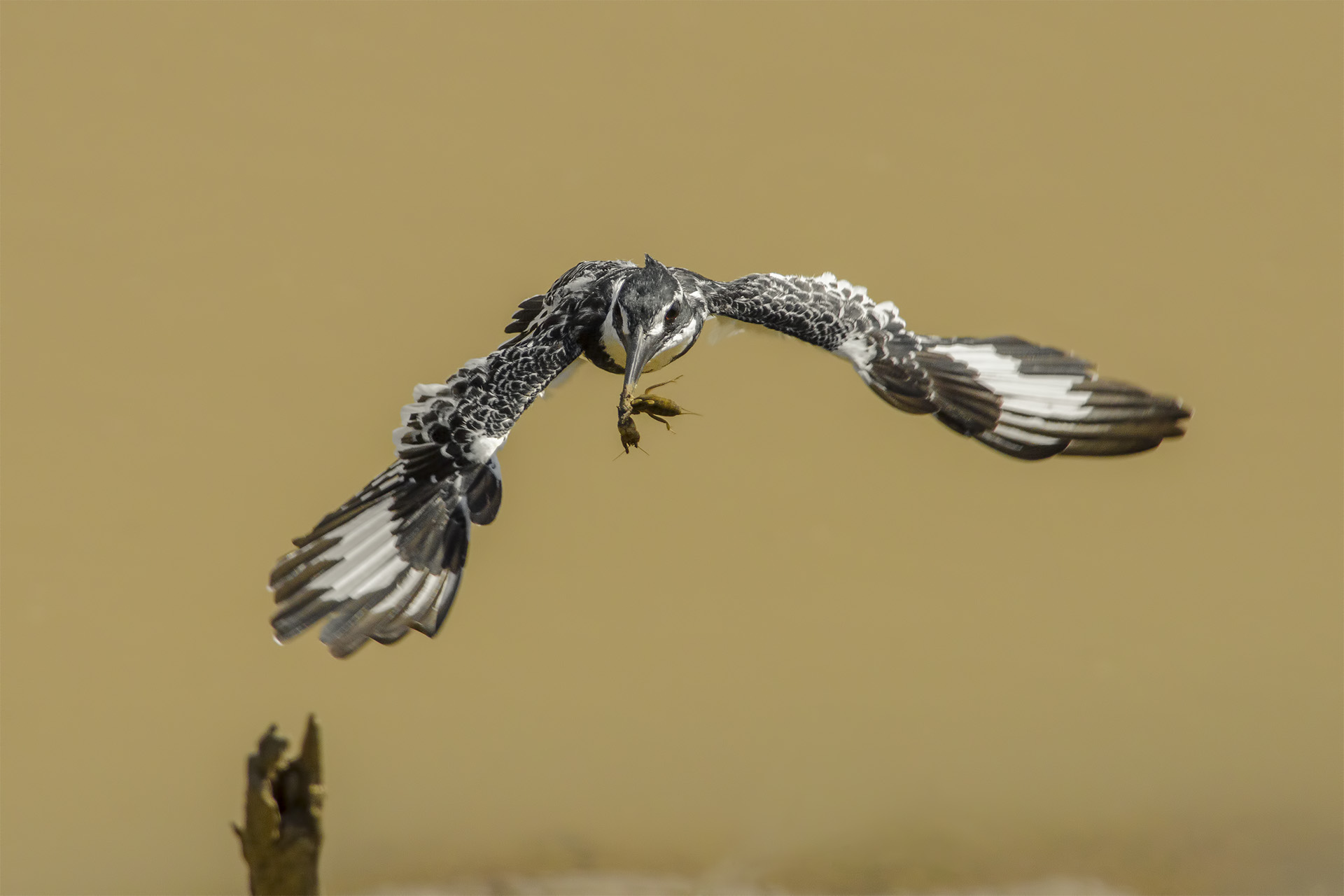 Pied Kingfisher...