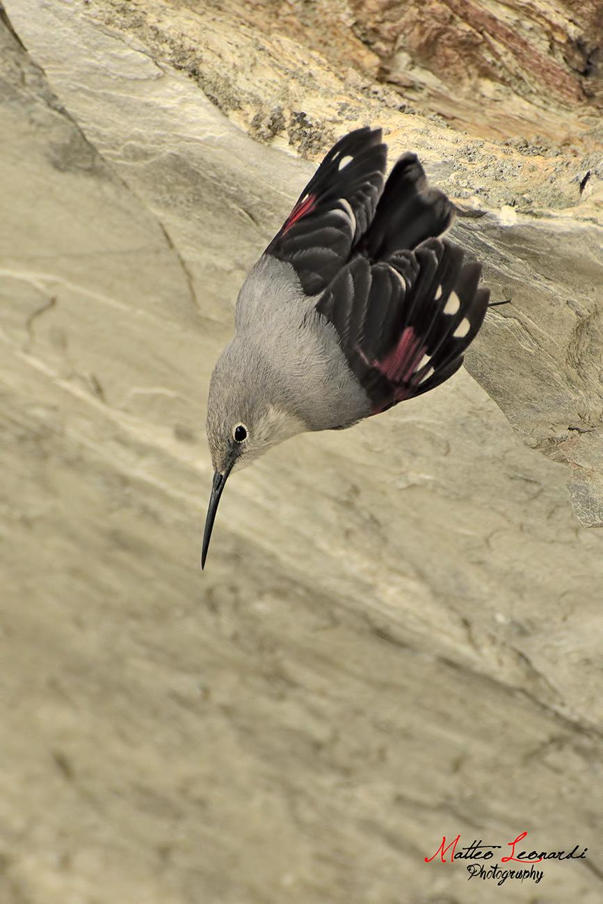 Woodpecker Muraiolo - Apuane Alps...