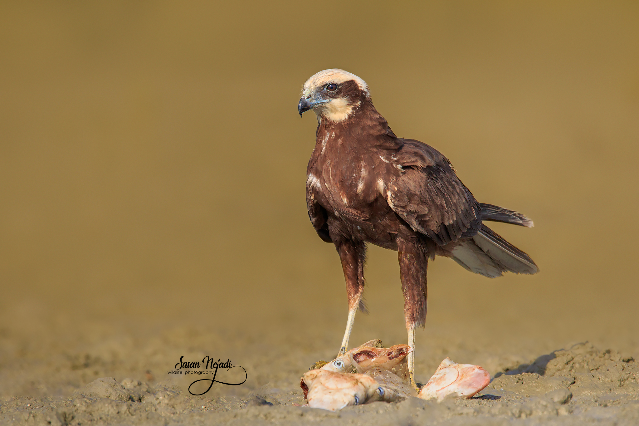 marsh harrier...