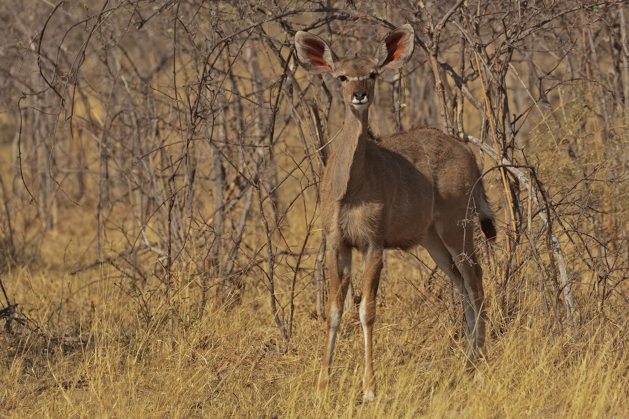 Young female Kudu...
