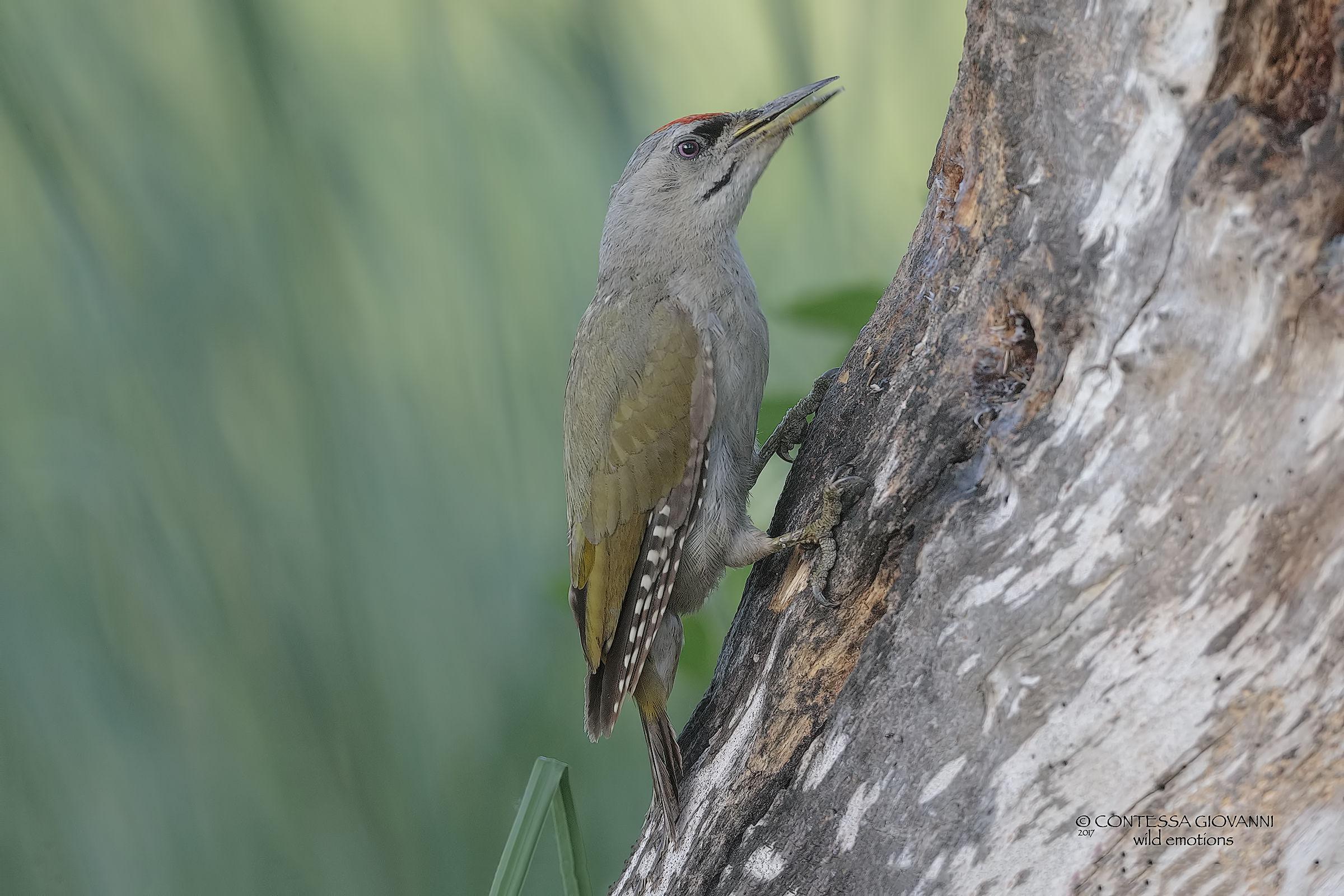 Male brown woodpecker...