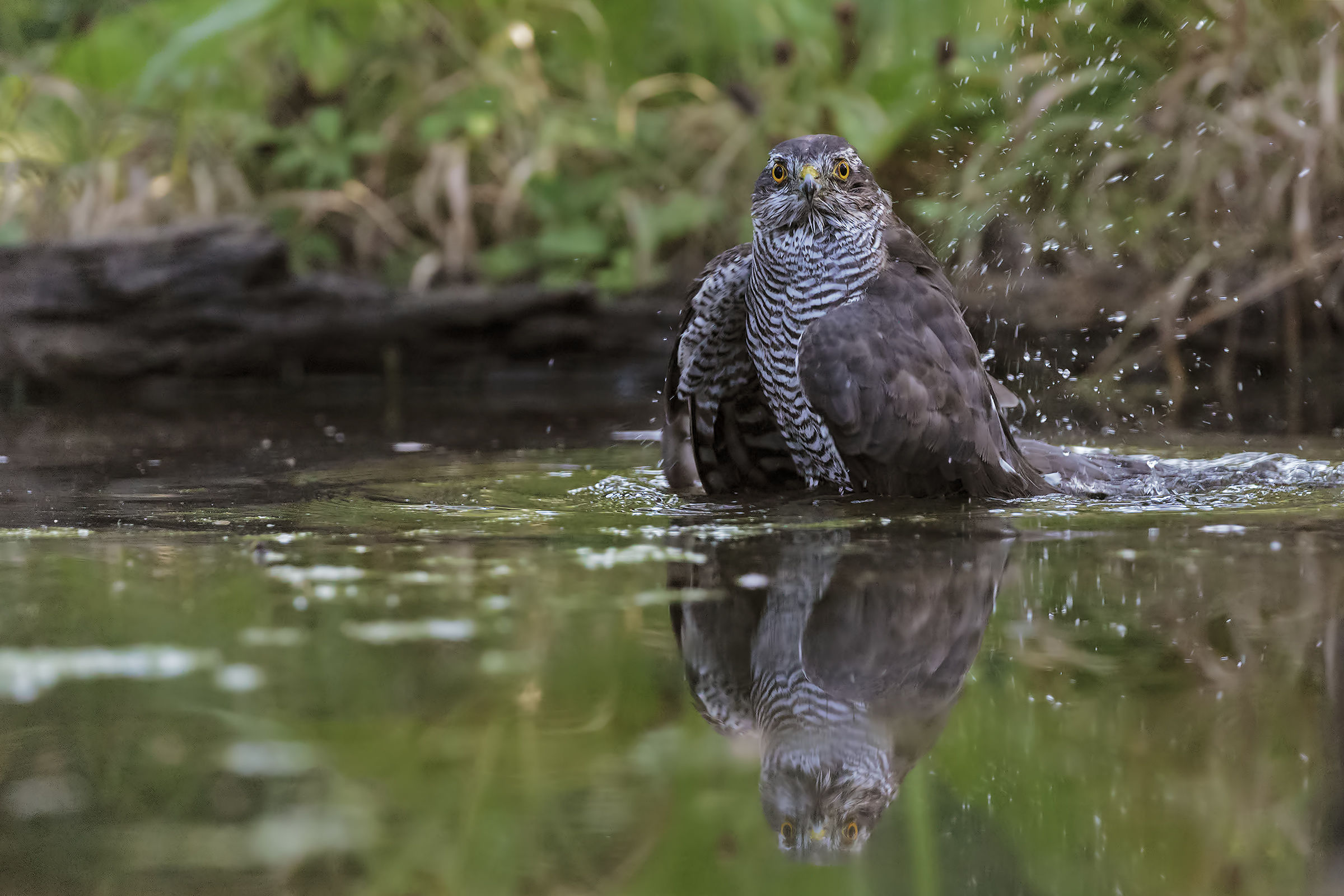 The sparrow bath...