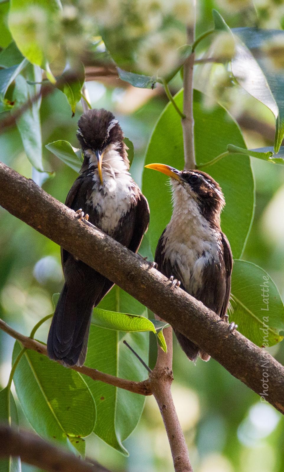 Indian Scimitar Babbler pair...