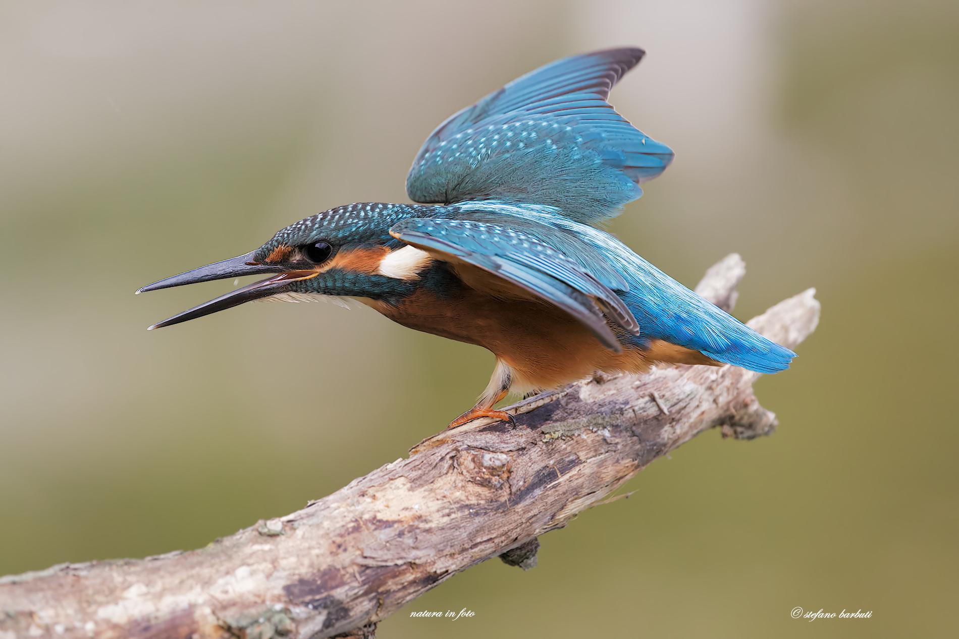 The stuka of nature .......