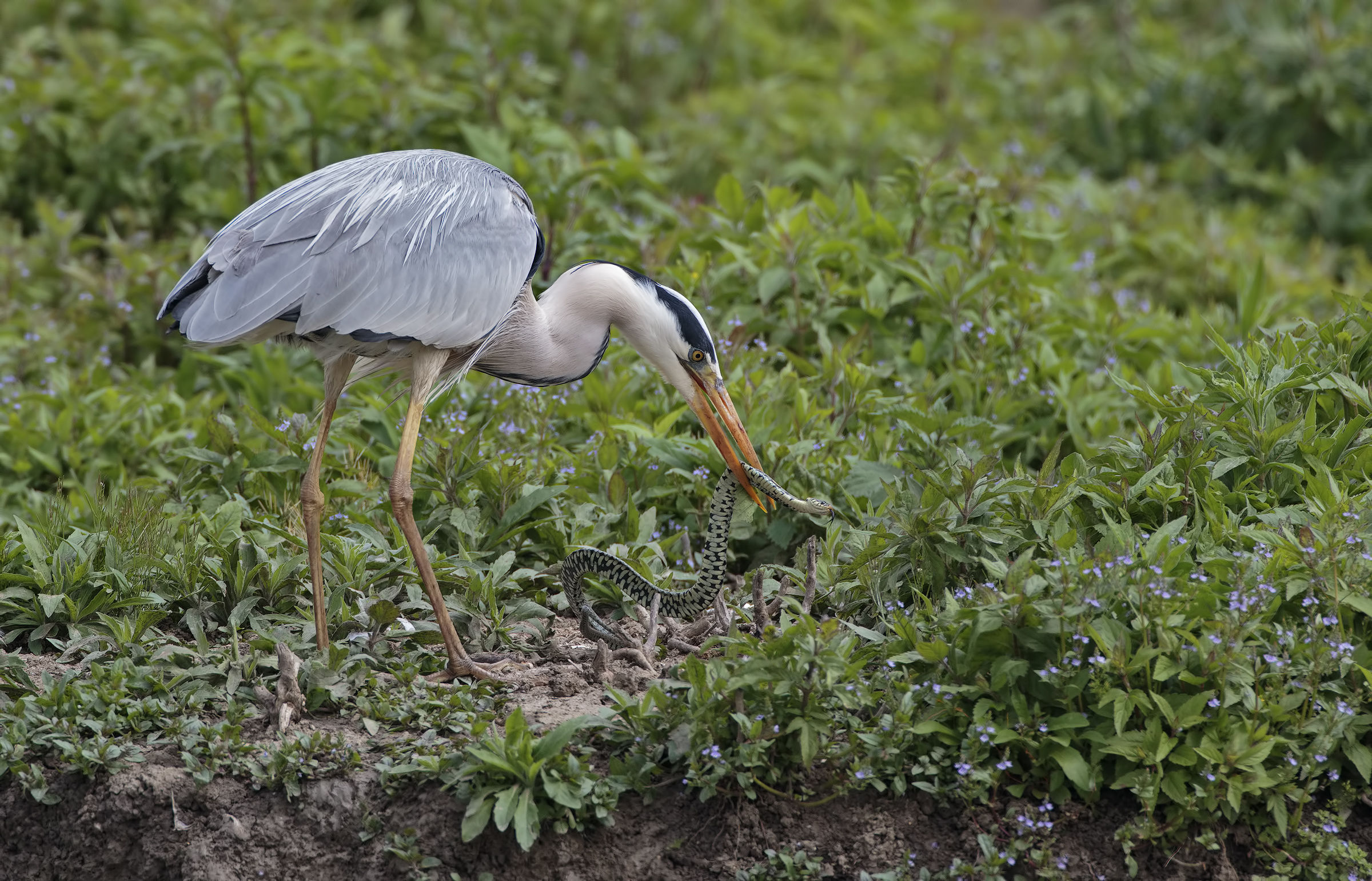 The heron and the natrix...