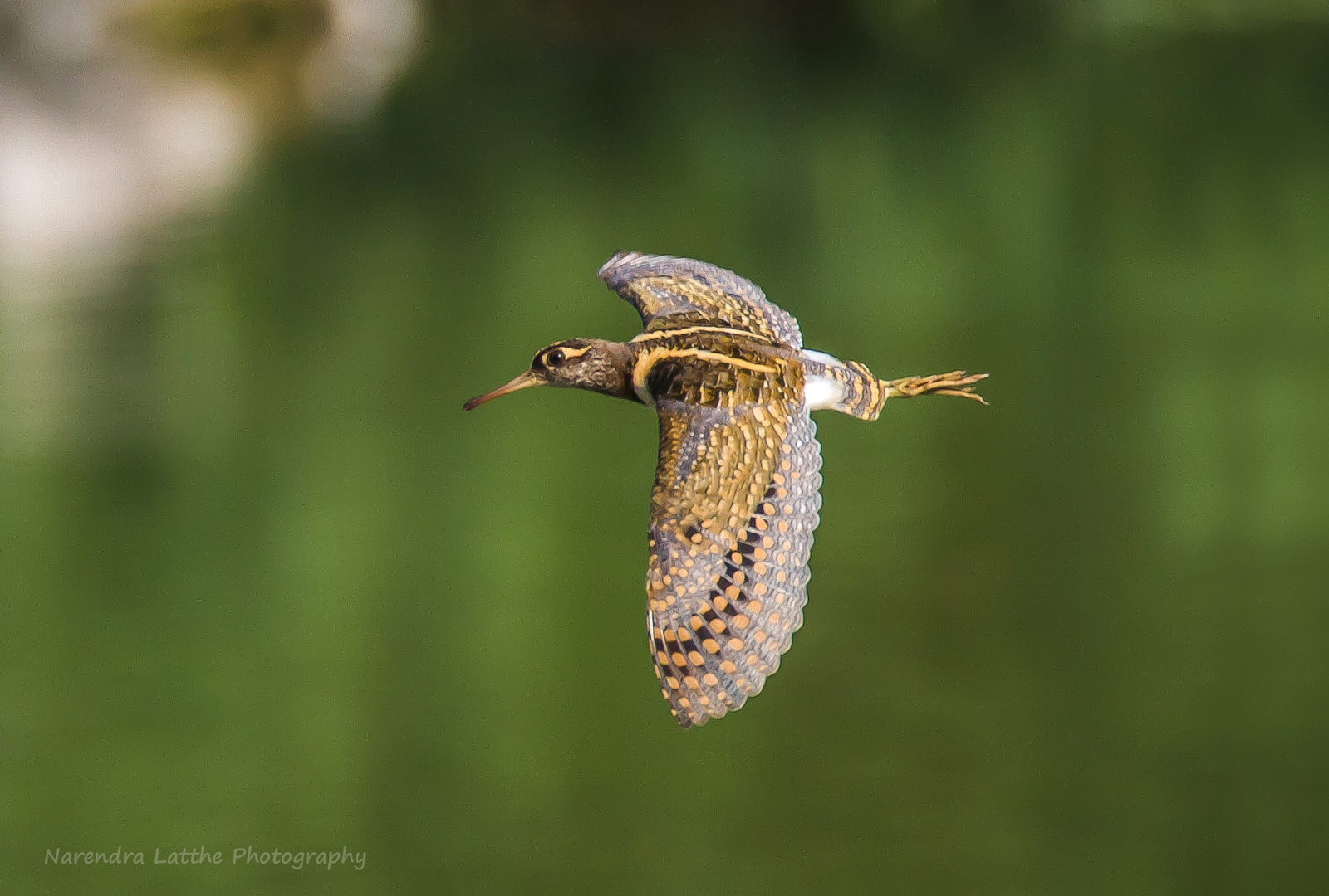 Greater Painted Snipe (Male) Flight...