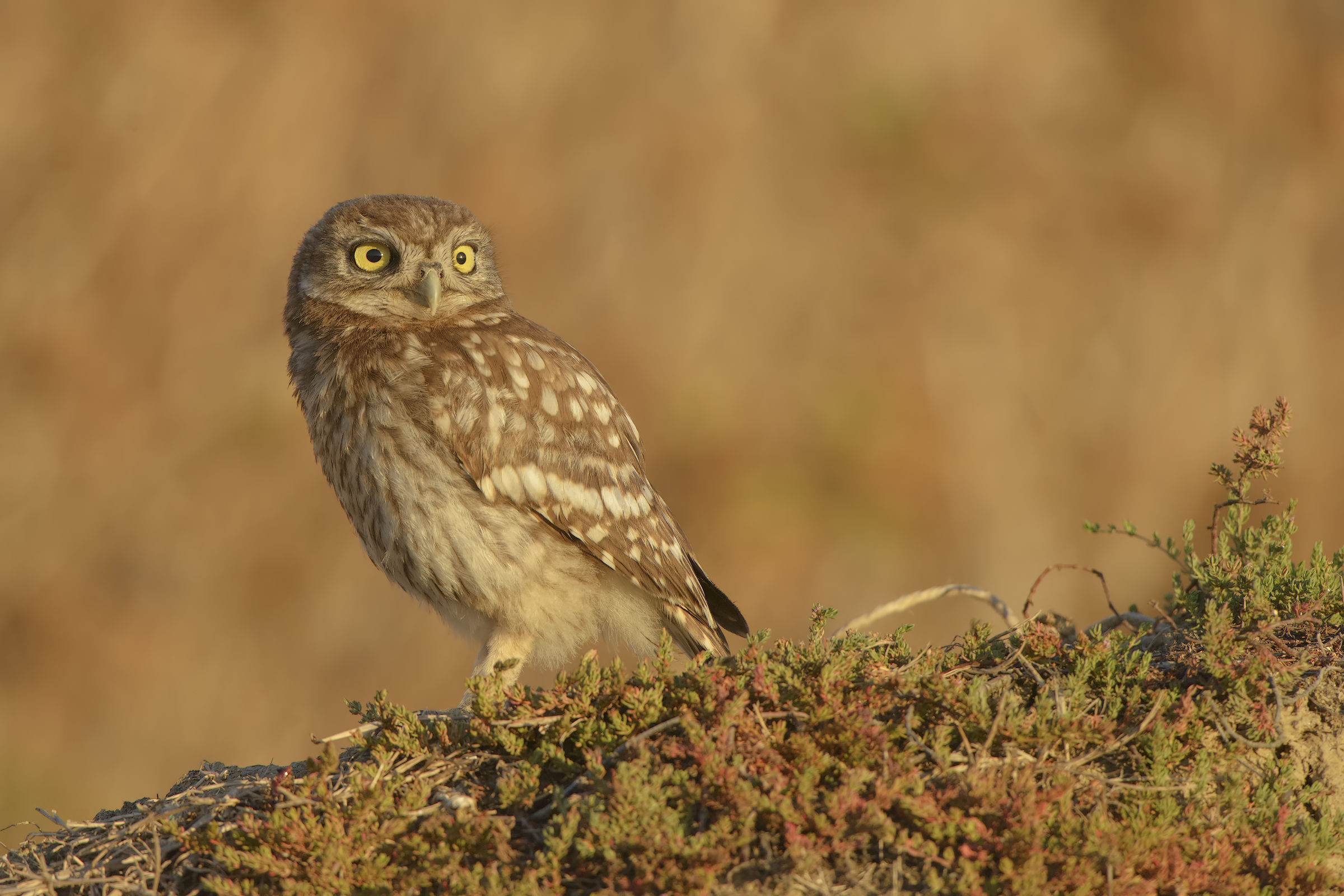 owl at sunset...