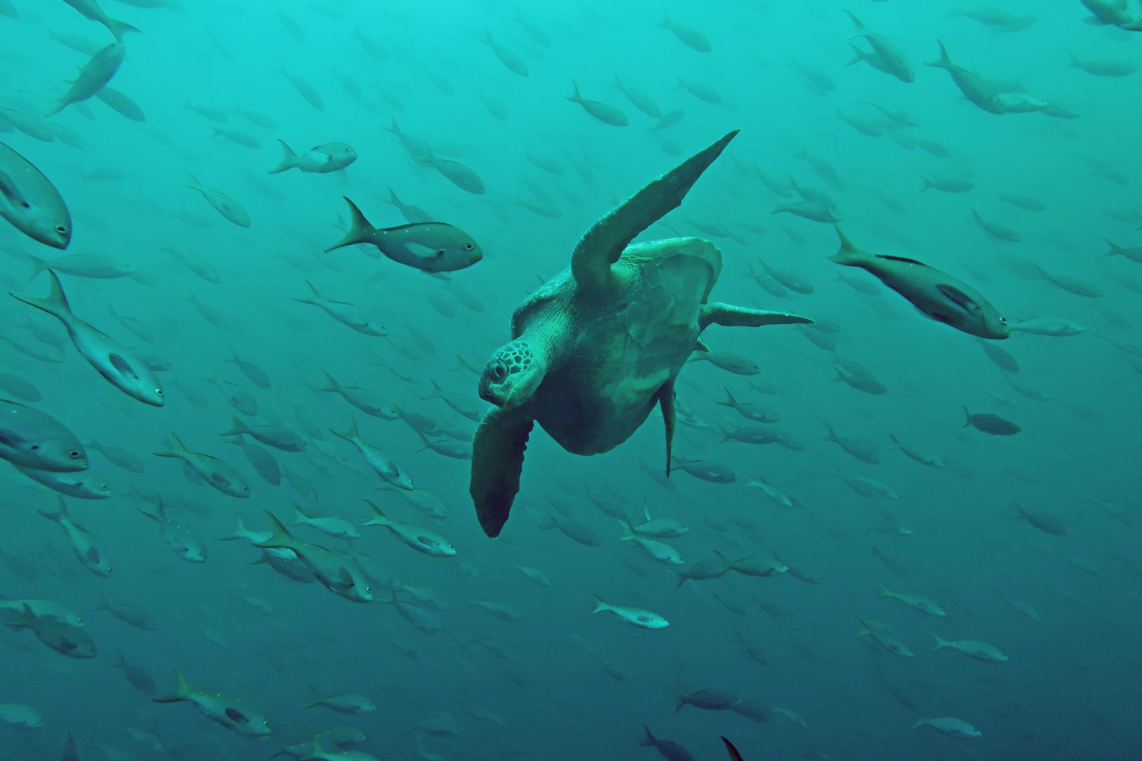 Turtle  (Galapagos island)...