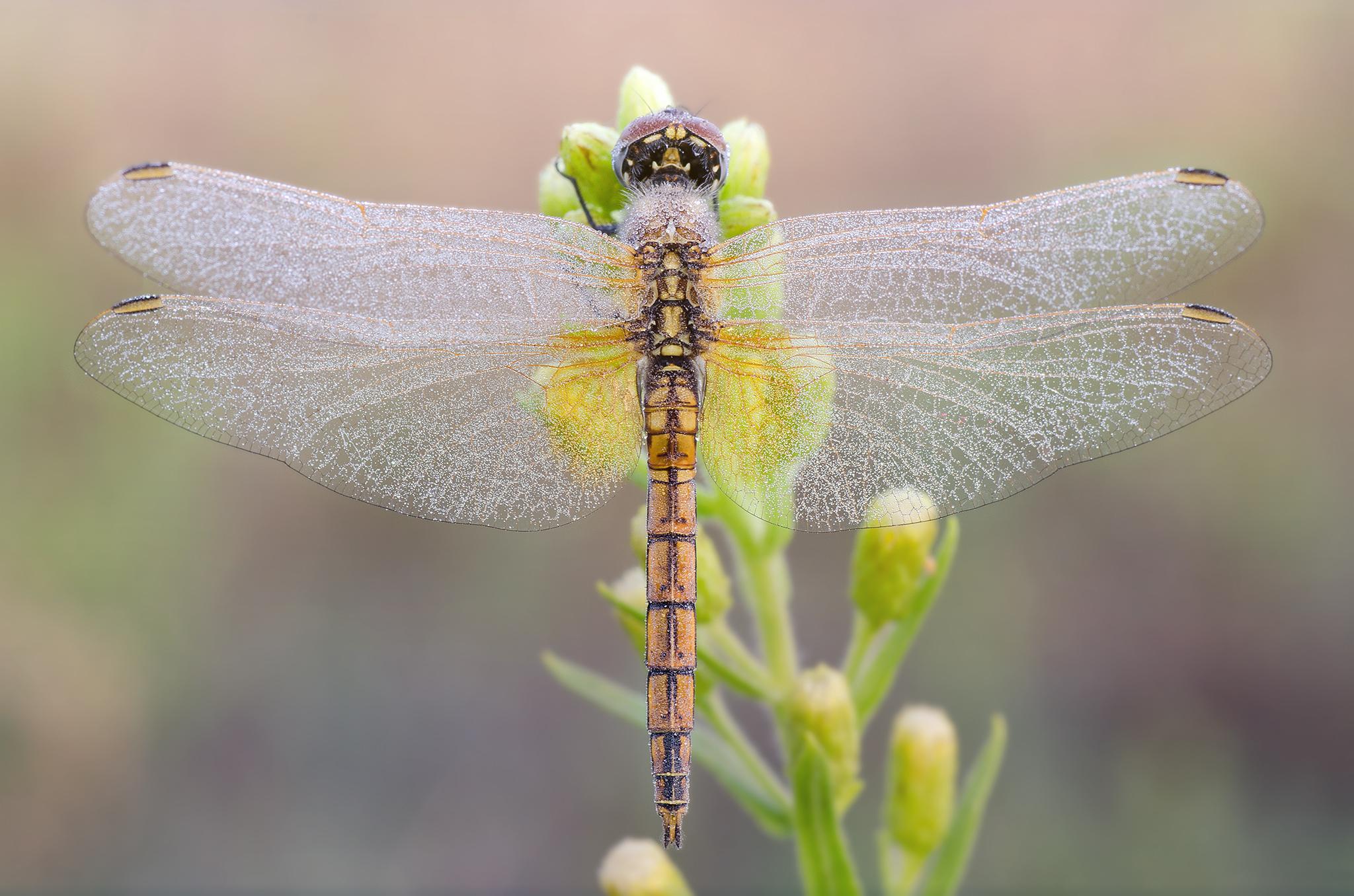Trithemis annulata - Female...