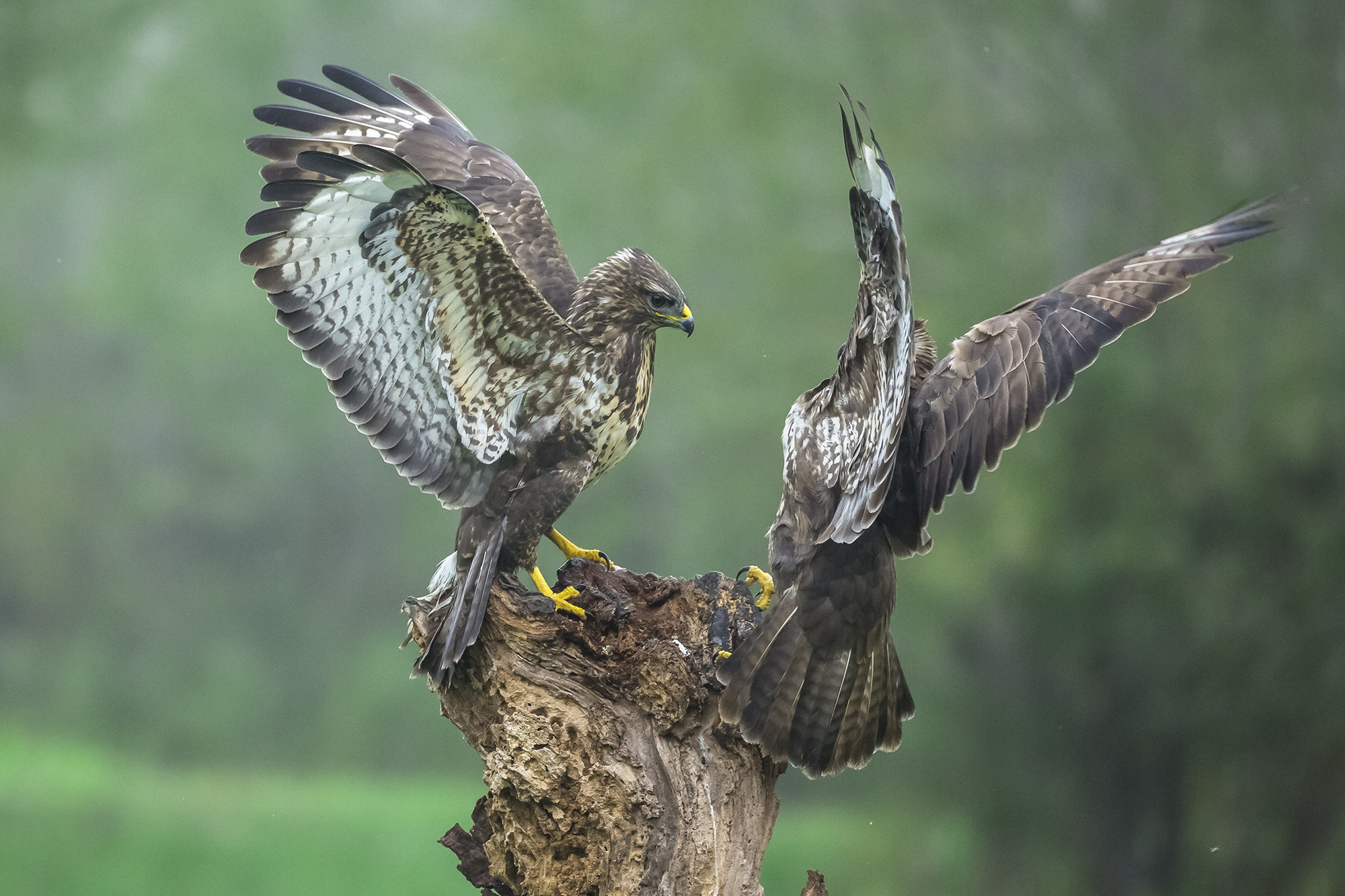Two whistling buzzards ......