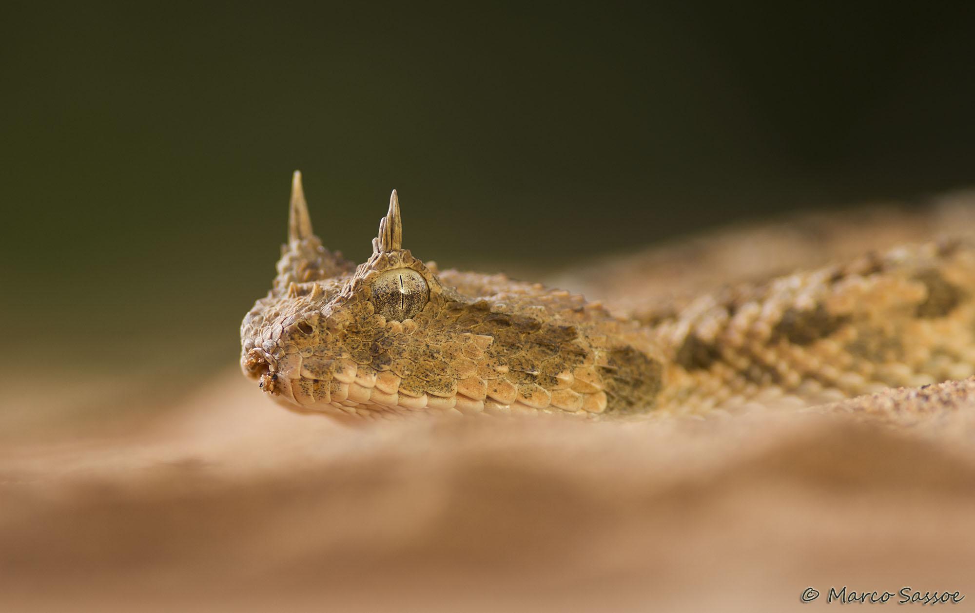 Cerastes cerastes, the horned viper of the Sahara, new...