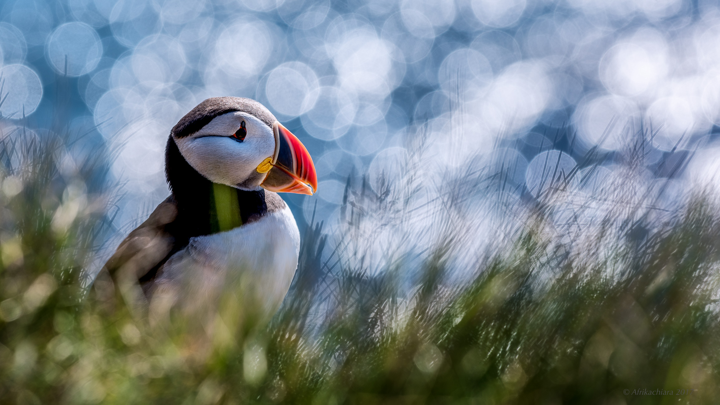 Puffin, Iceland's most agile fisherman...