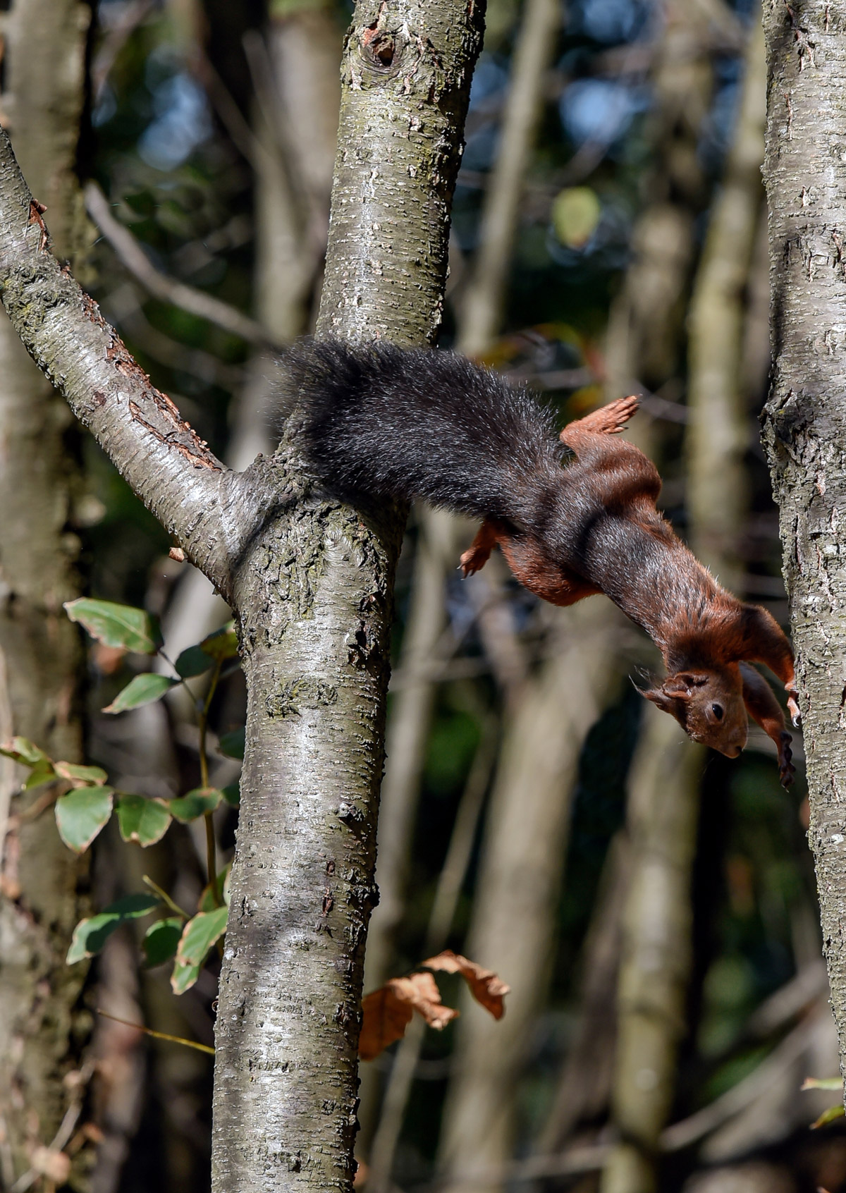 A Red and Black Squirrel...