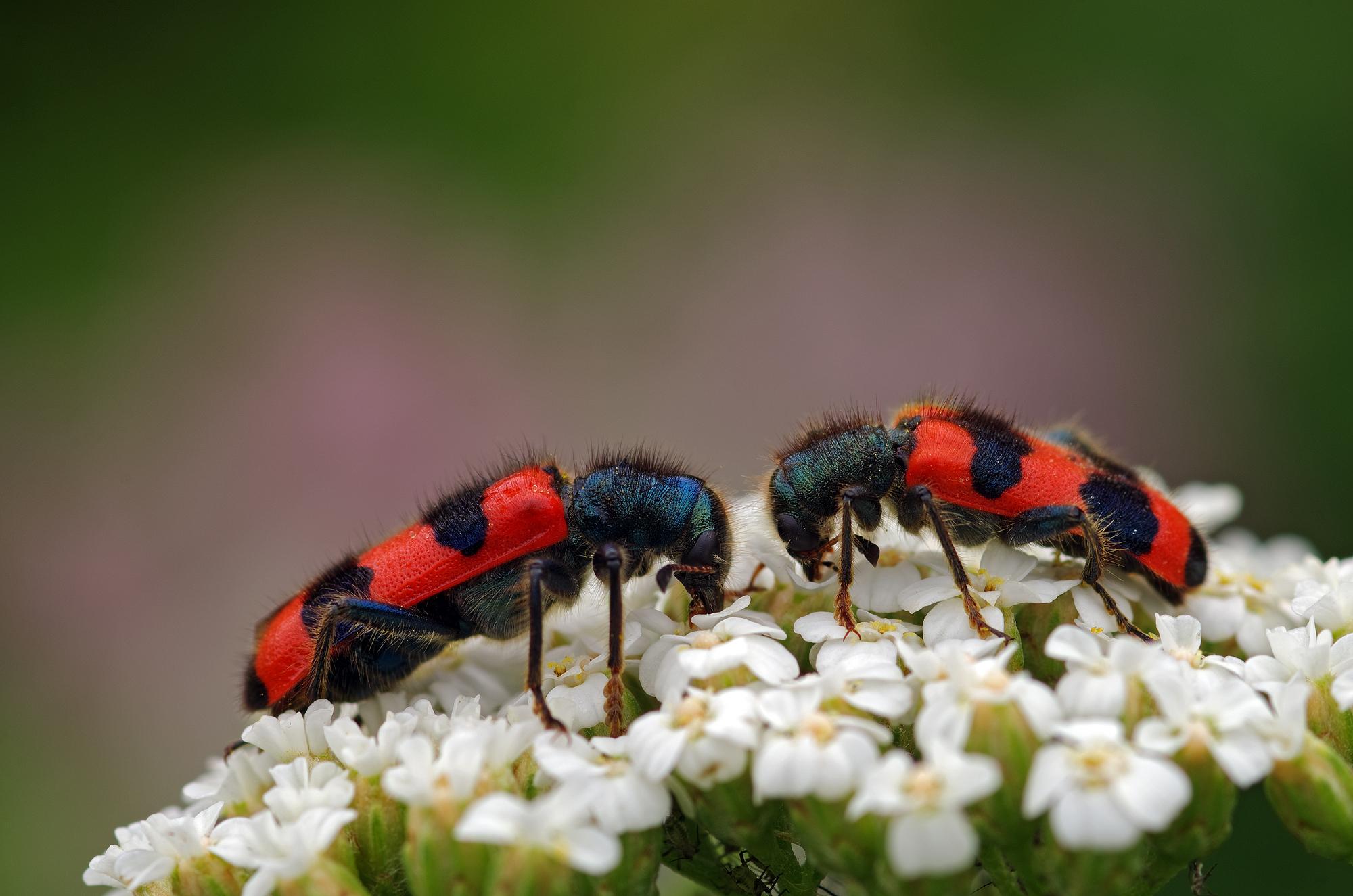 Beetles on flower...