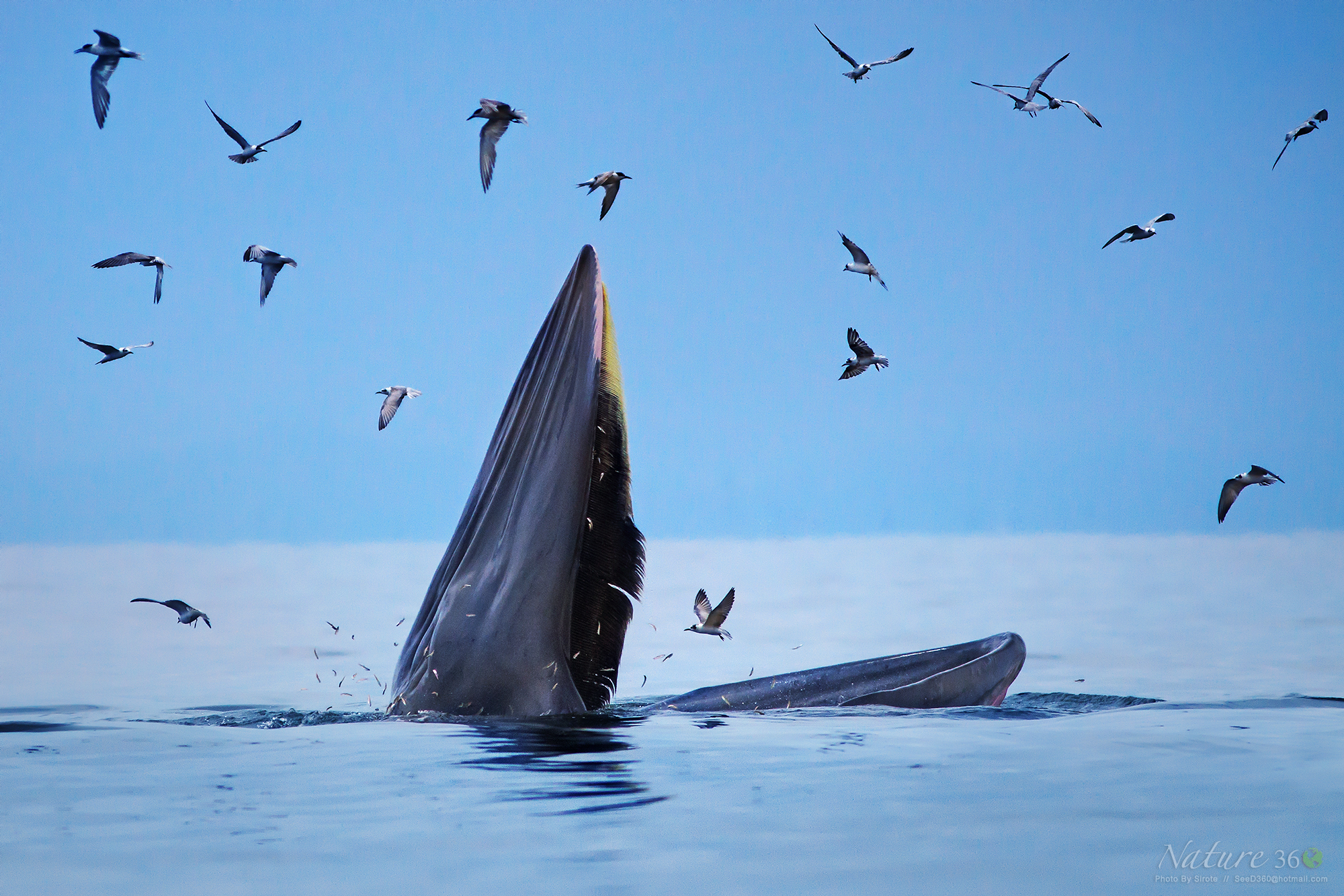 Bryde's whale...