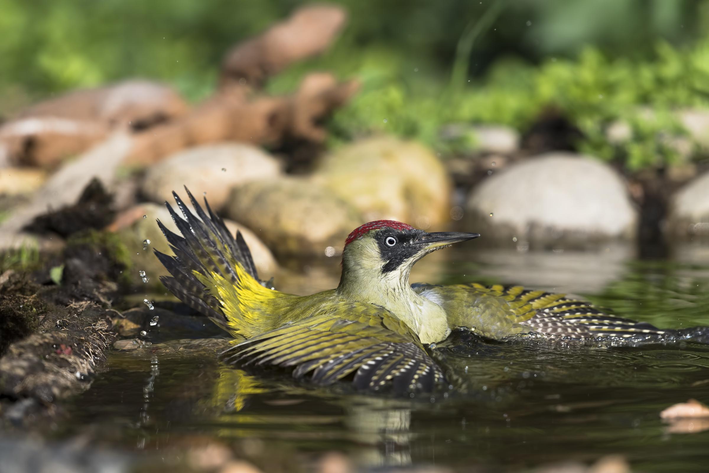 Green woodpecker in the bath...