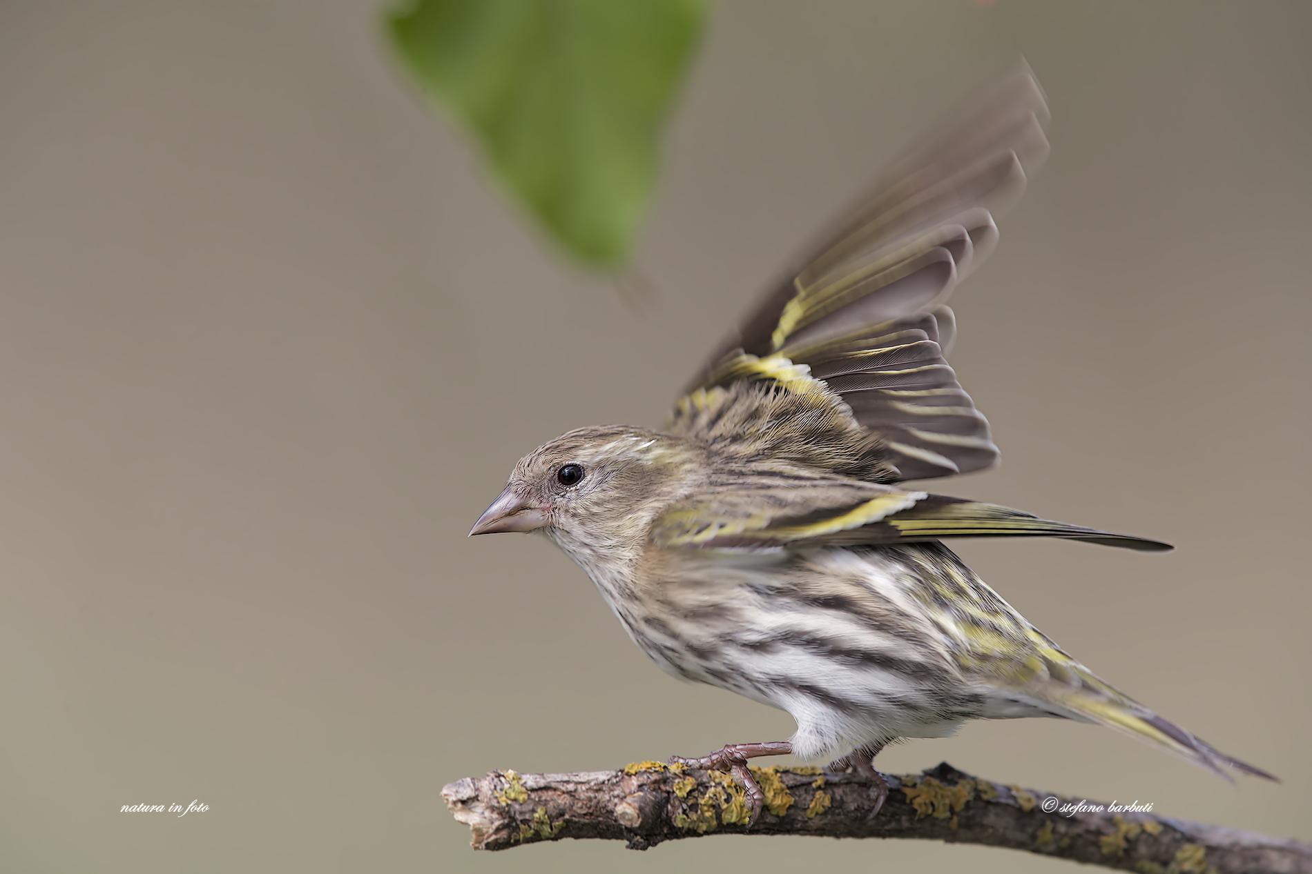 Female lark...