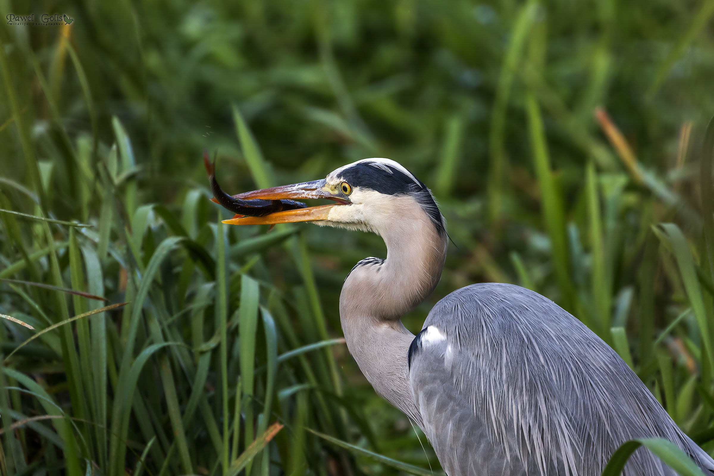 Gray heron with Prey...