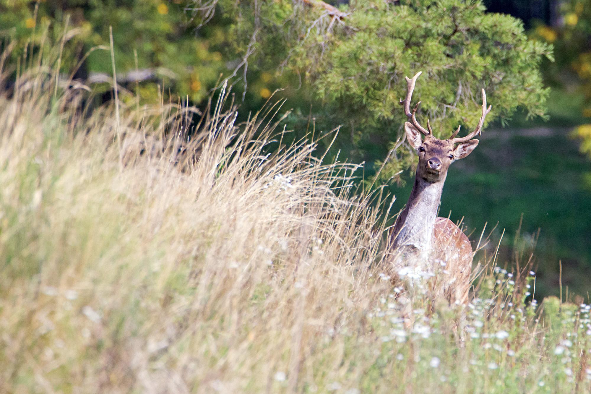 Curious young deer...