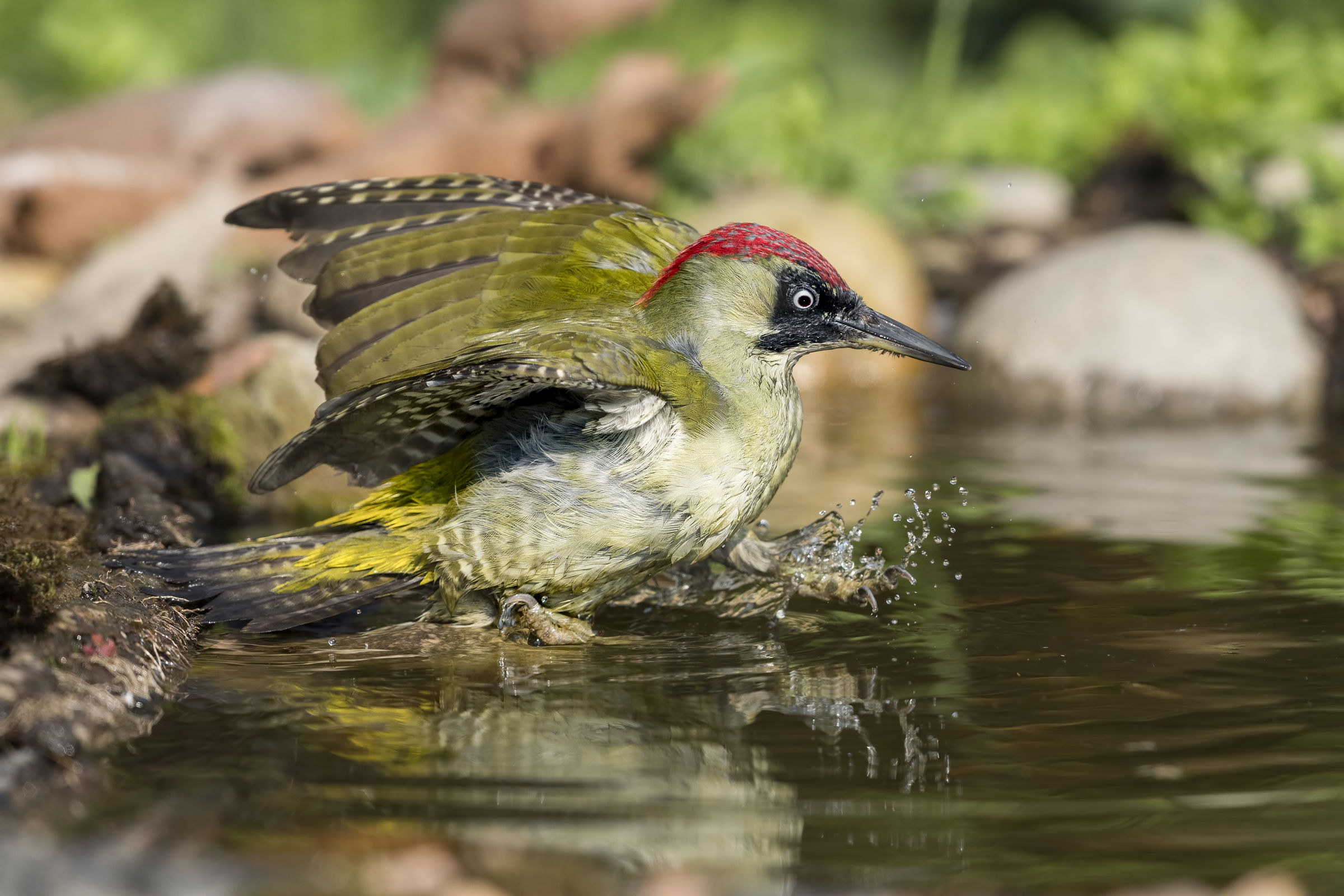 entering the pool - green woodpecker...
