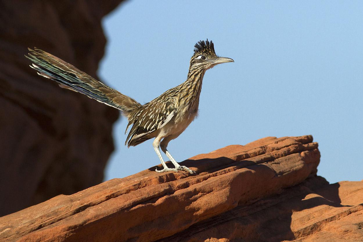 Road Runner (Geococcyx californianus)...