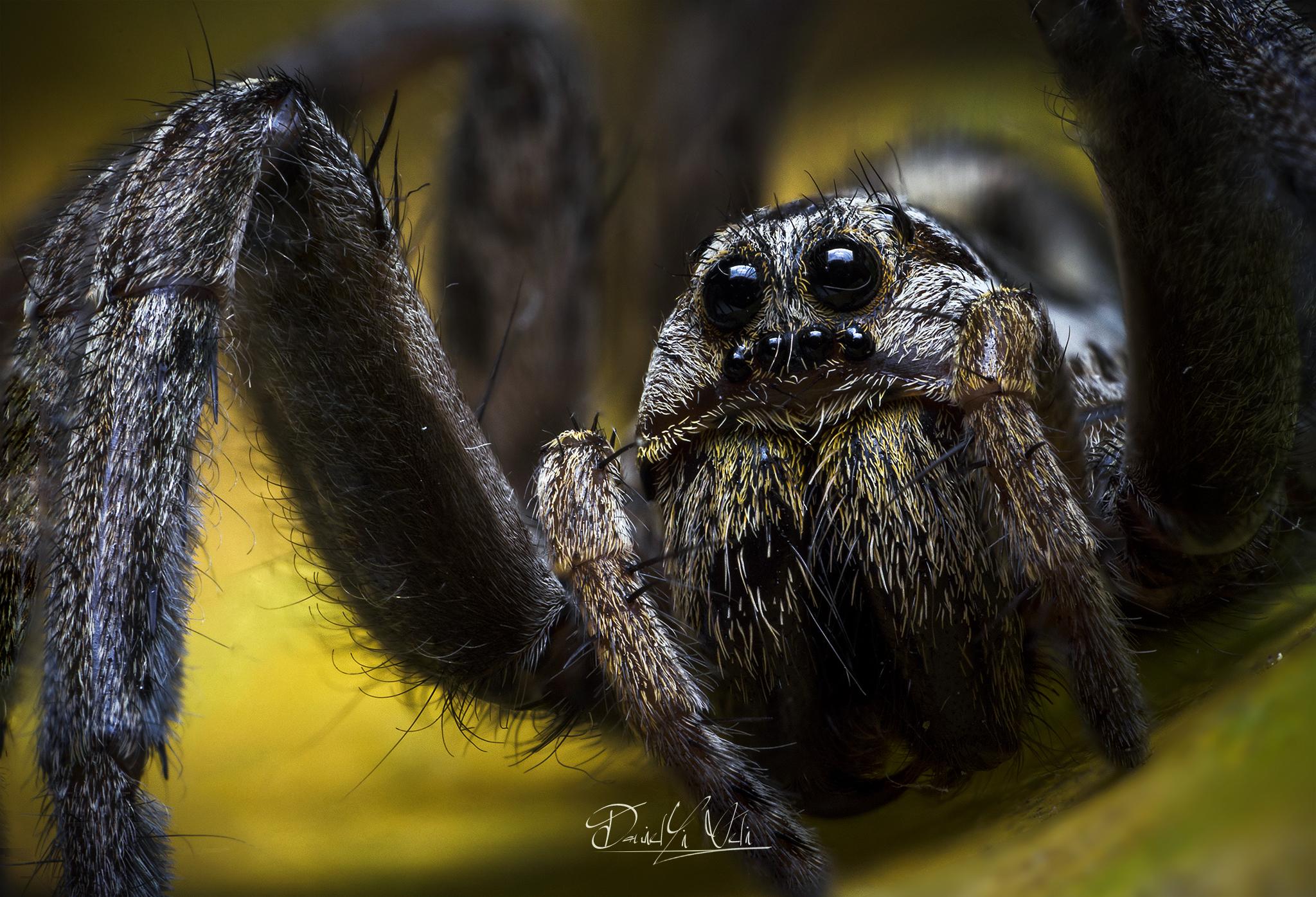 Hogna radiata - Spider wolf...