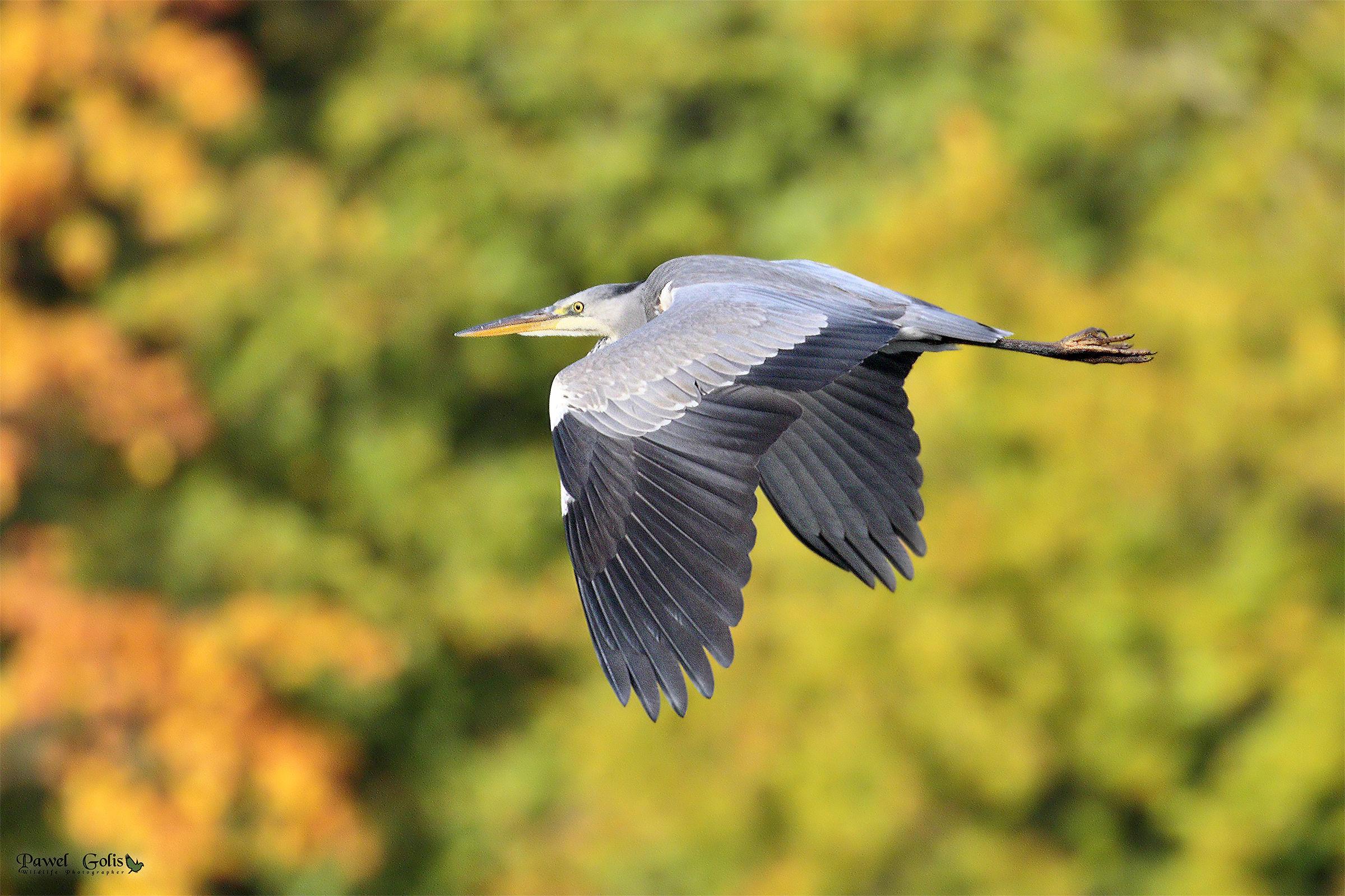 Grey Heron in Fly...