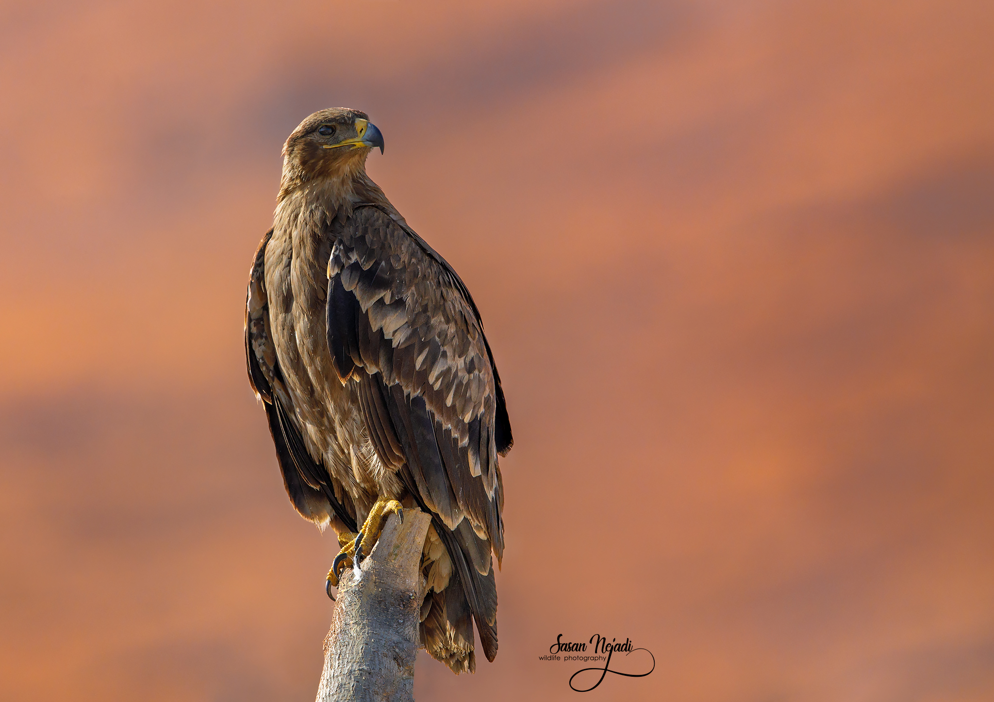 Steppe eagle...
