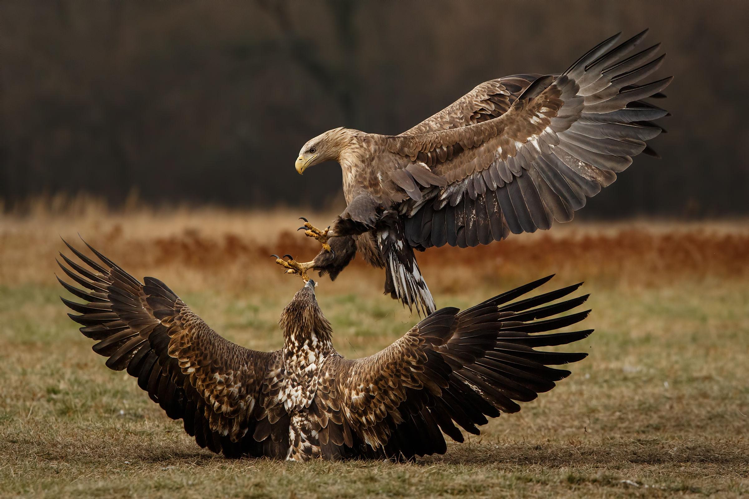 Sea Eagles II...