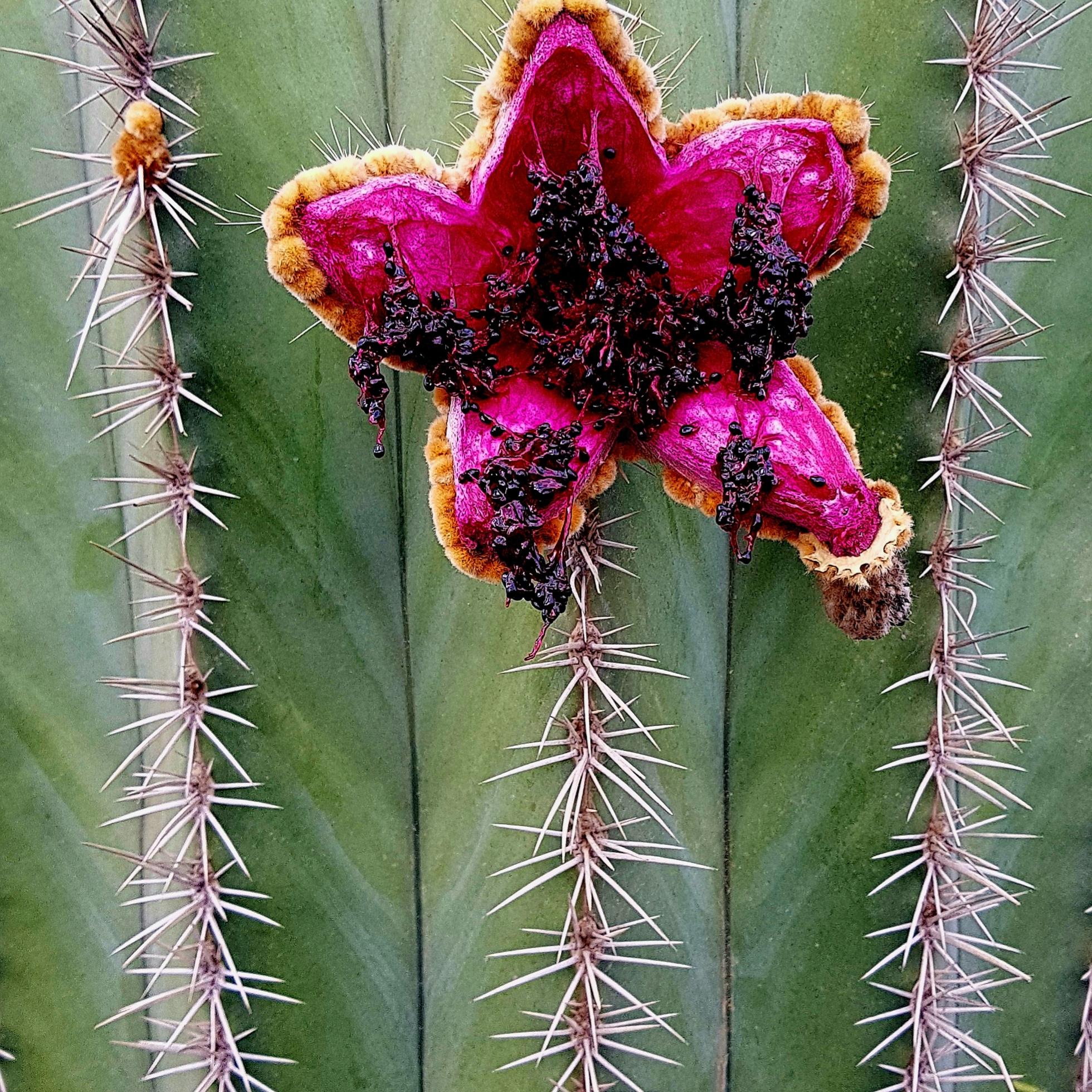 cactus flower...