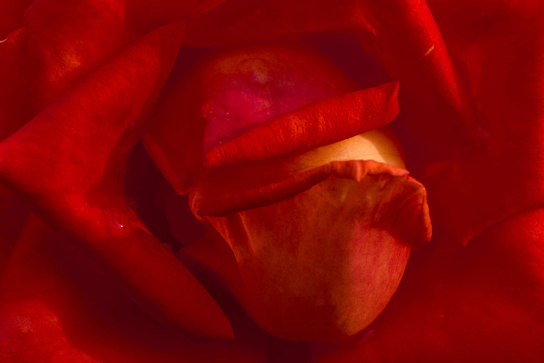 ... in the heart of the rose ......