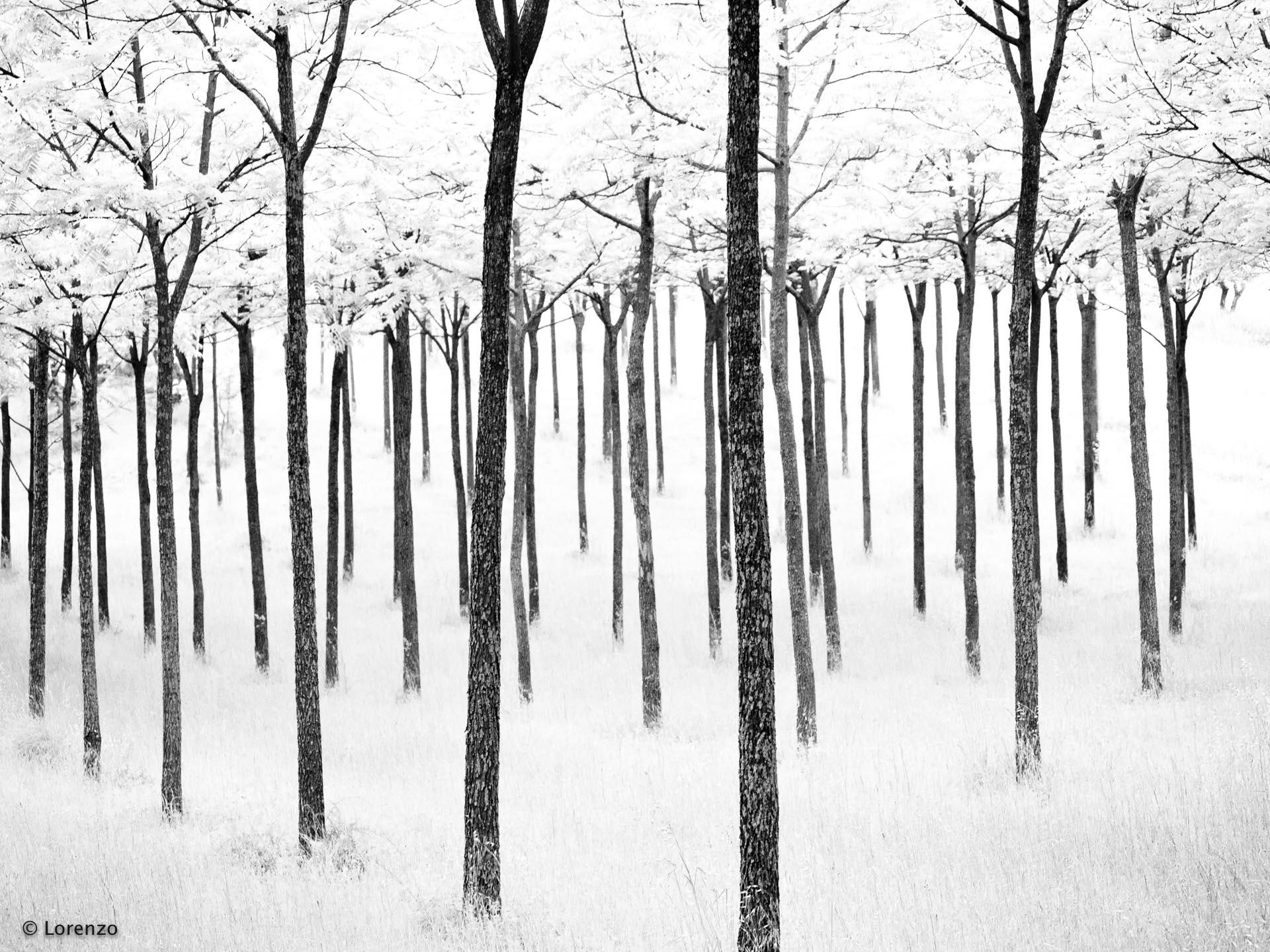 acacias...