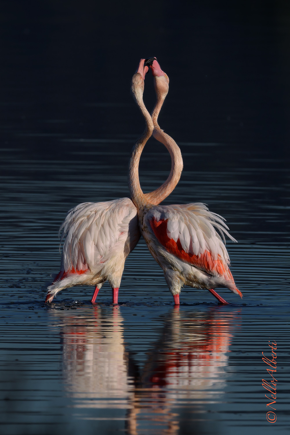 Pink flamingos interlacing...